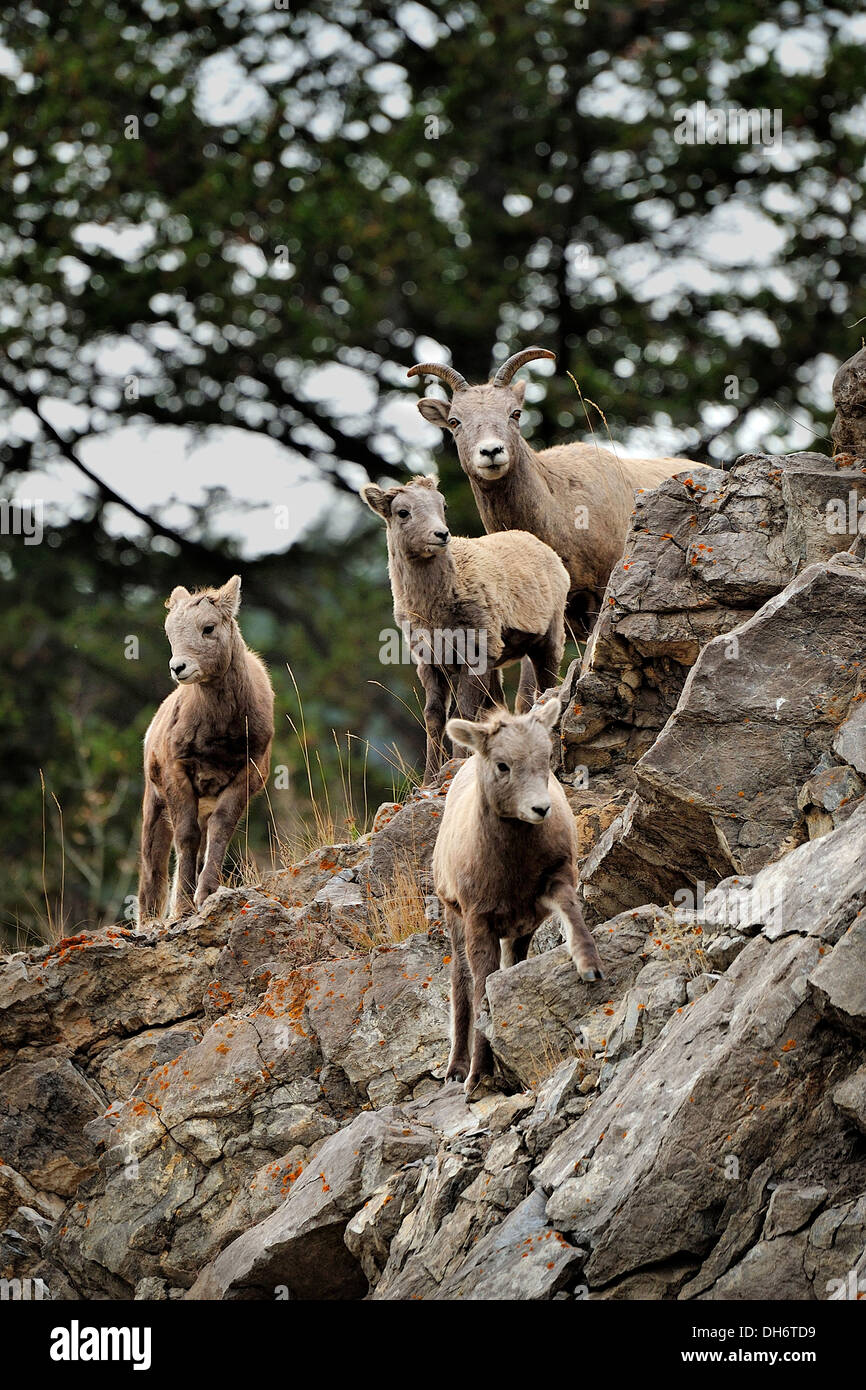 A family of Bighorn Sheep walking over a rocky ledge. - Stock Image