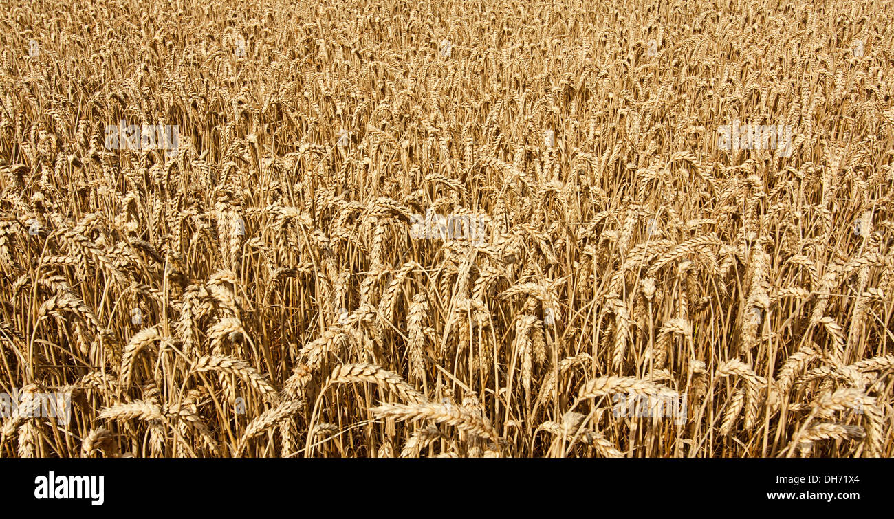 agricultural wheat field background growing cereal for the production of grain for the domestic market - Stock Image