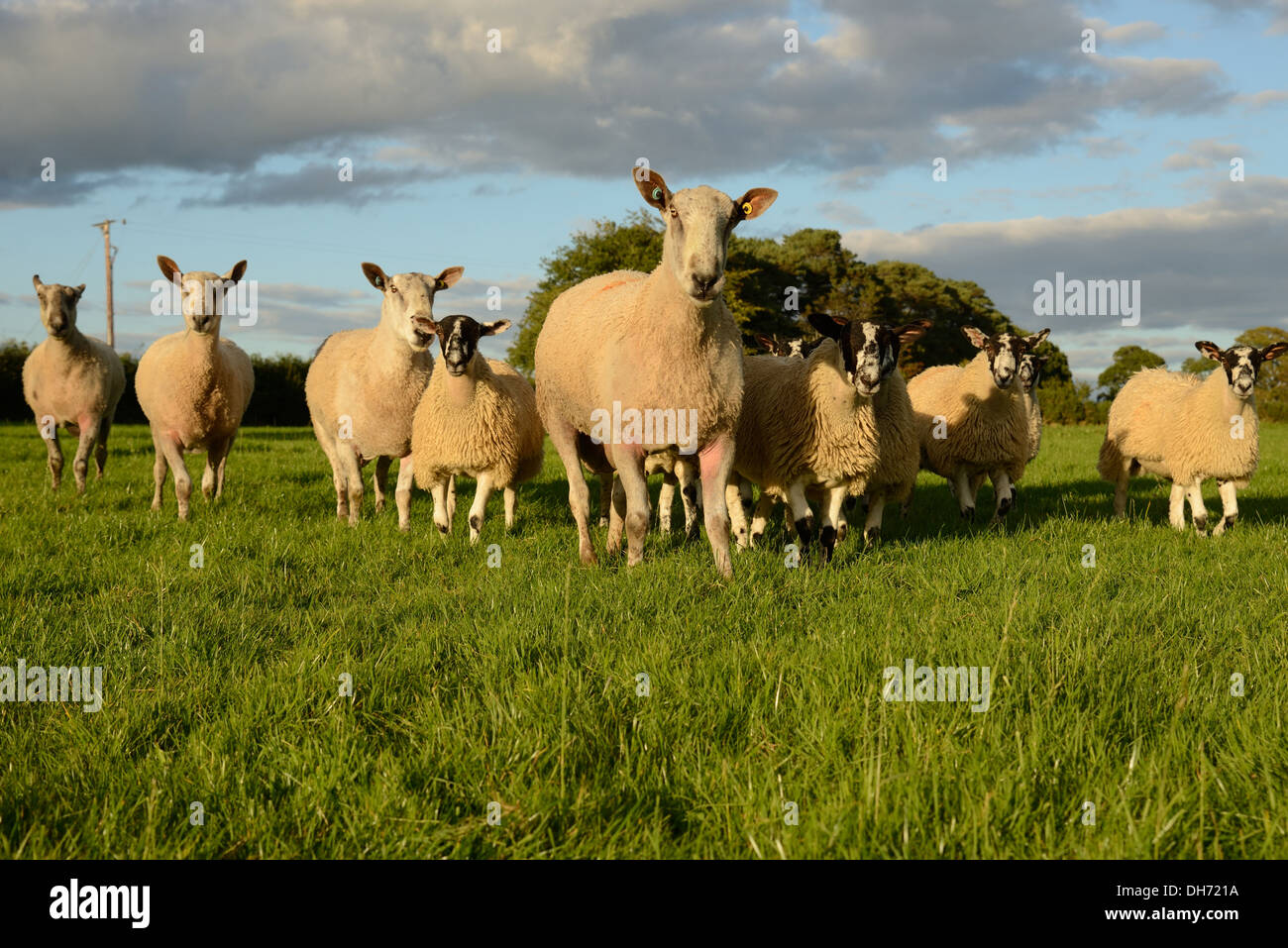 Group of sheep heading for the camera in patrol formation. - Stock Image