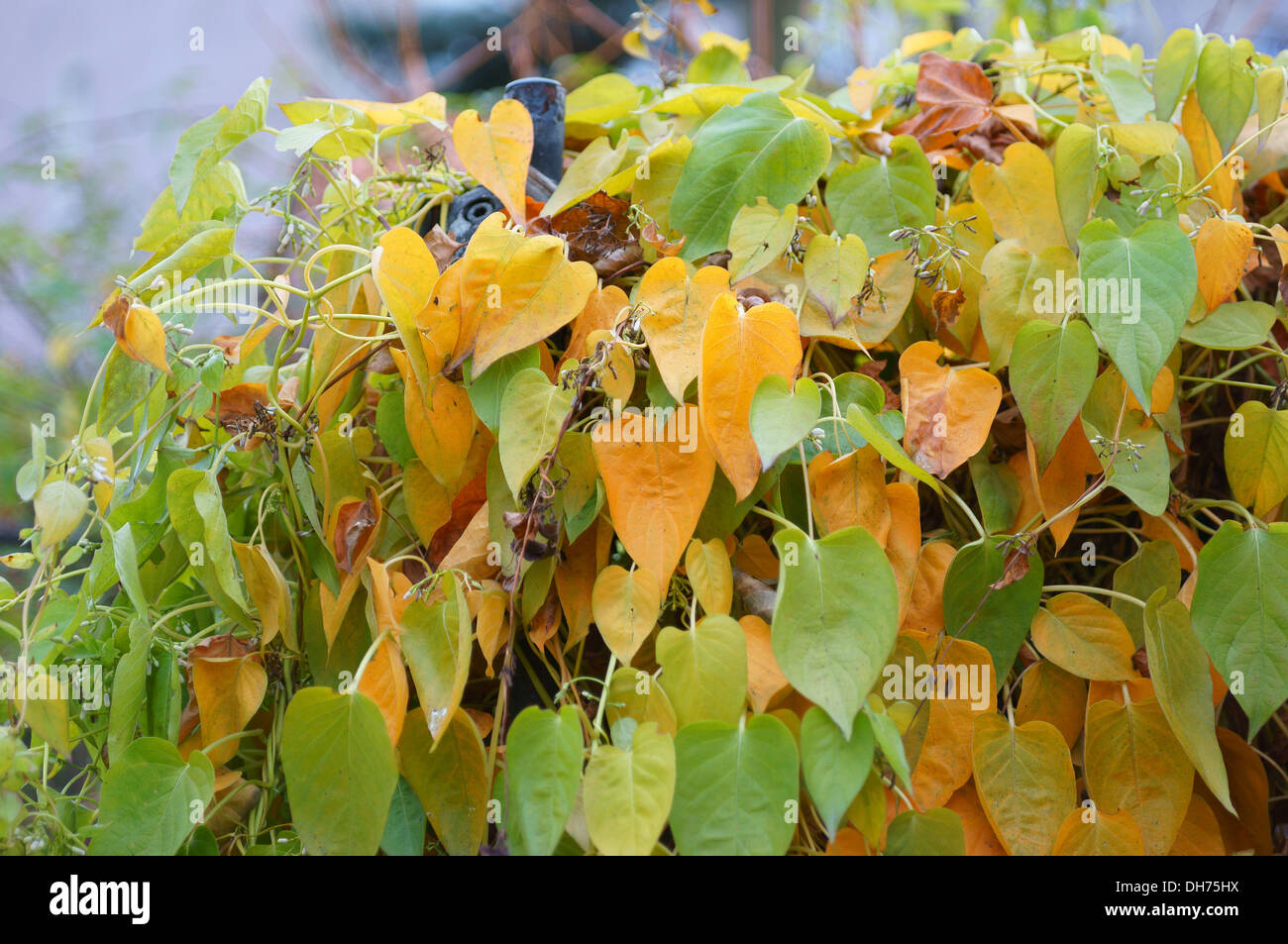 Sewer vines multicolor autumn leaves Paederia scandens - Stock Image