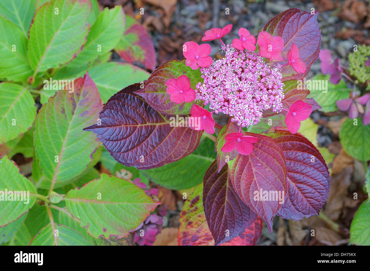 Late autumn pink hydrangea flowers and purple leaves stock photo late autumn pink hydrangea flowers and purple leaves mightylinksfo