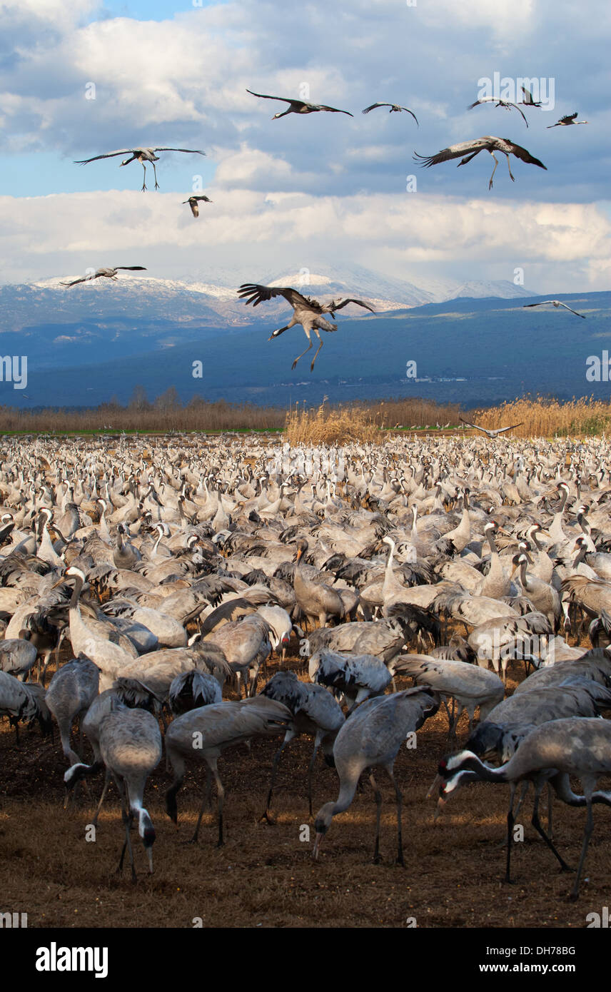 Common Crane, Crane, Grus grus, Hula Vally - Stock Image