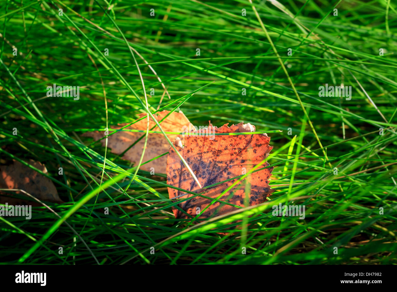 Translucent in the sunlight bright colored birch leaves on green grass - Stock Image