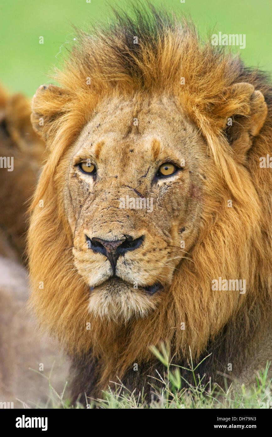 Lion, big 5, Panthera Leo - Stock Image