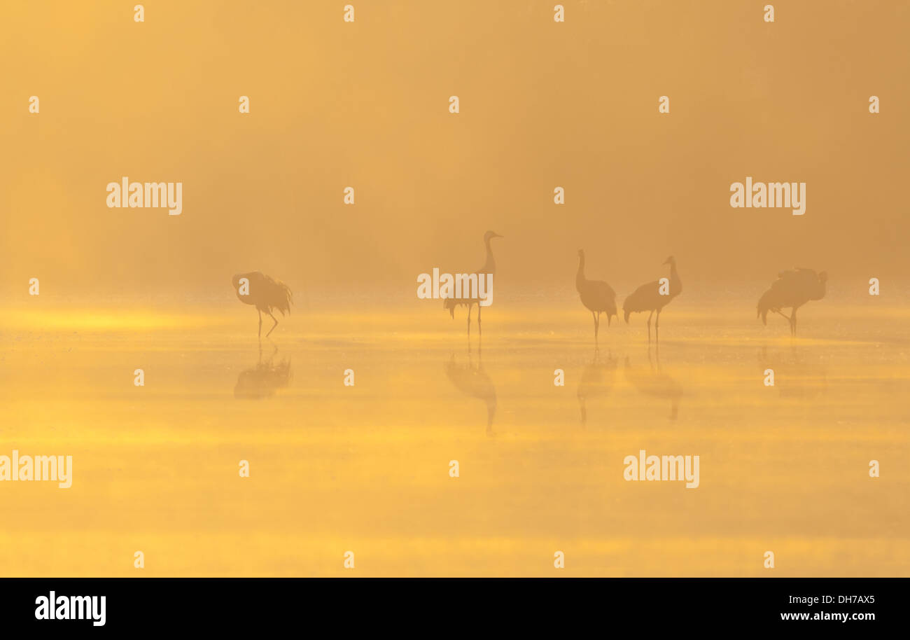 Common Crane, Crane, Grus grus, Hula Vally, - Stock Image