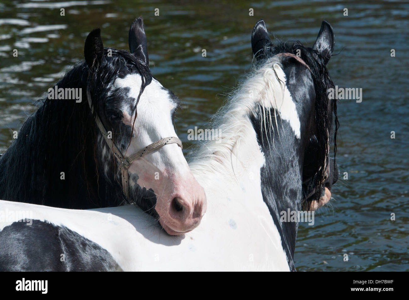 Travellers displaying their horses at the annual Appleby horse fair, Cumbria, UK - Stock Image