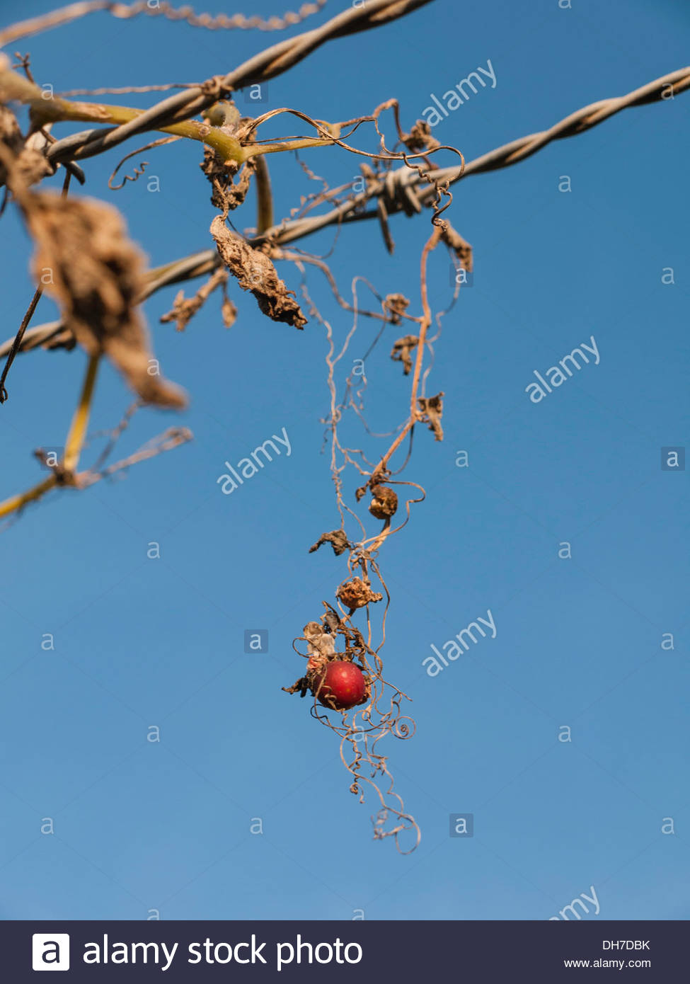 Wild Berry Growing On Fence - Stock Image