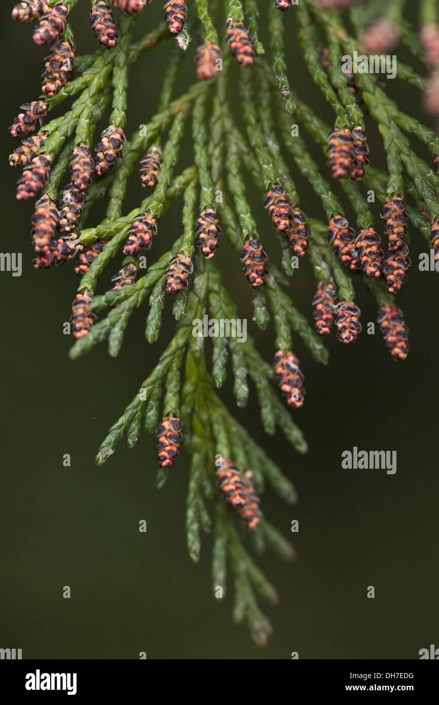 lawsons cypress, chamaecyparis lawsoniana - Stock Image