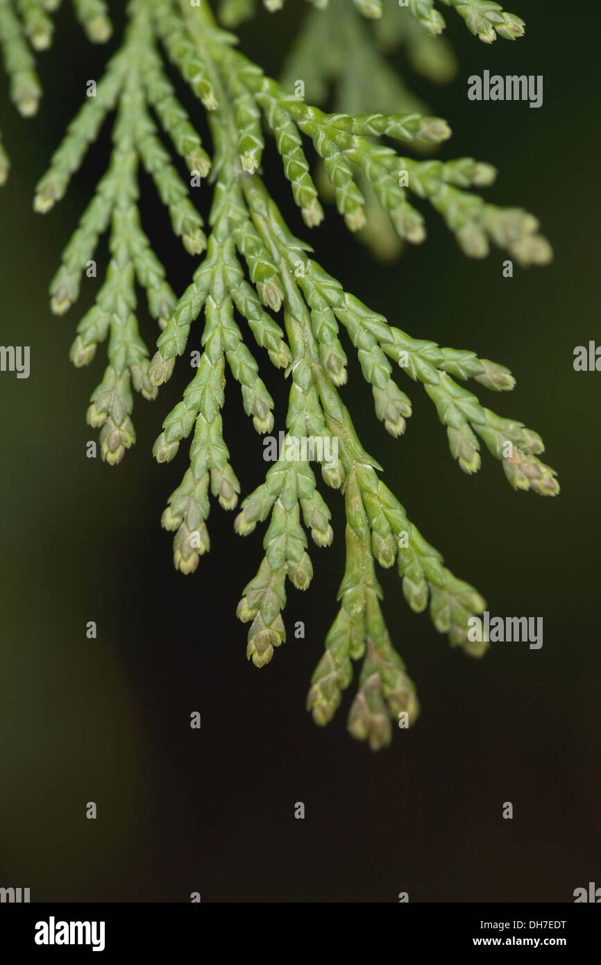 lawsons cypress, chamaecyparis lawsoniana - Stock Image