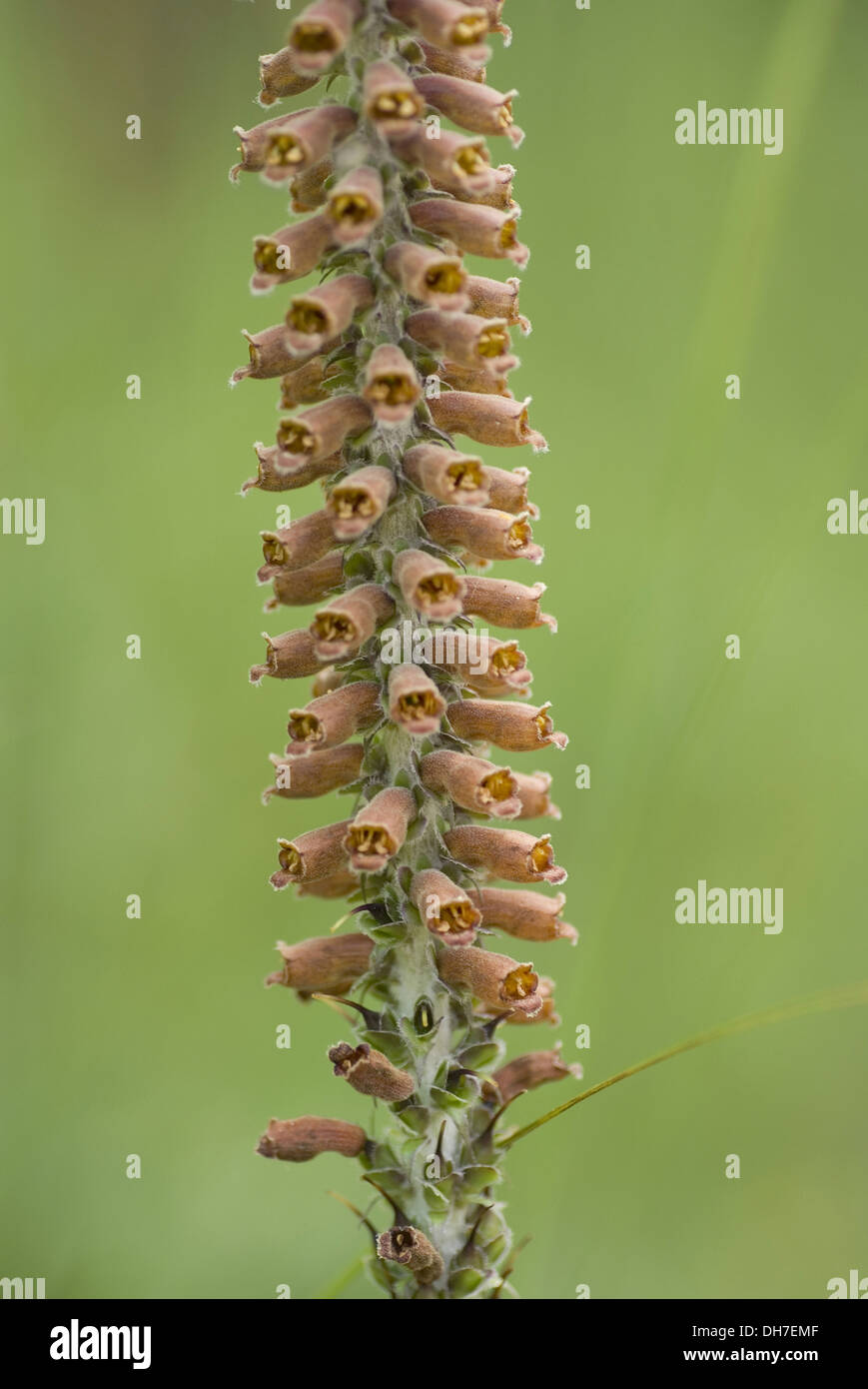 foxglove, digitalis parviflora - Stock Image