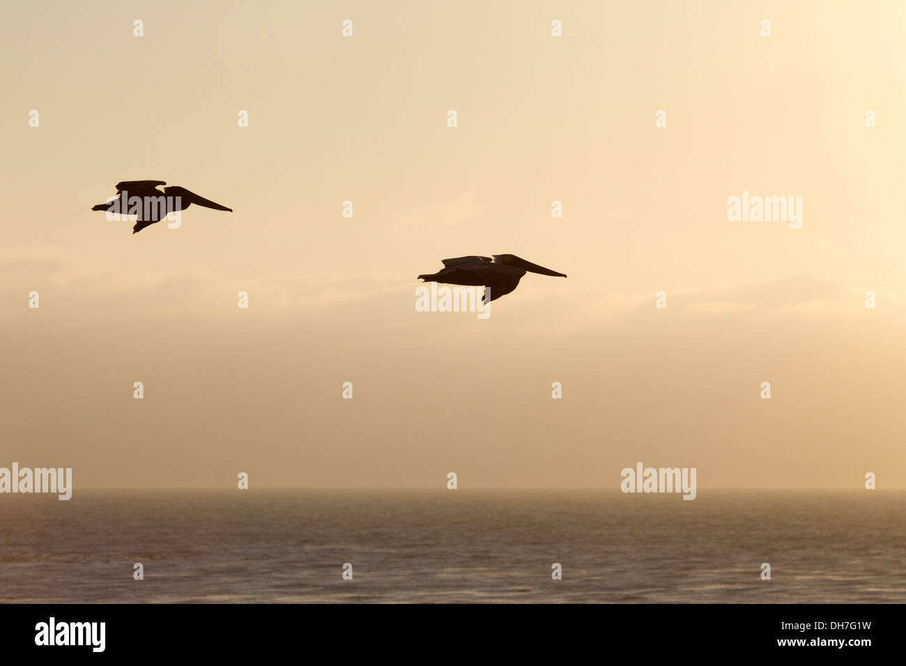 Two Brown Pelicans Cruising over the Ocean at Sunset Stock Photo