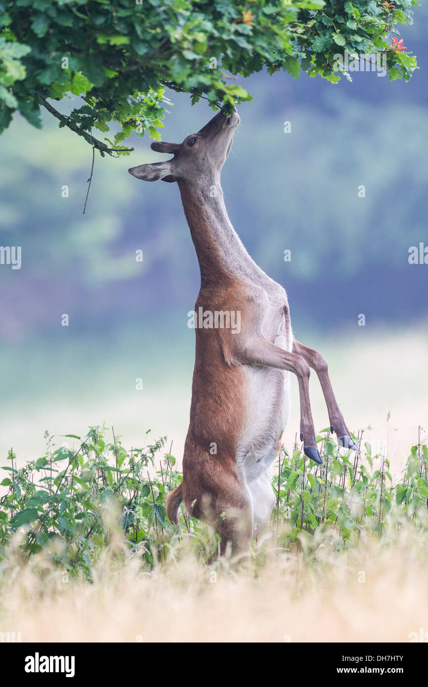 Female Red Deer (Cervus elaphus) hind stood on back legs, eating leaves from tree. Studley Royal, North Yorkshire, - Stock Image