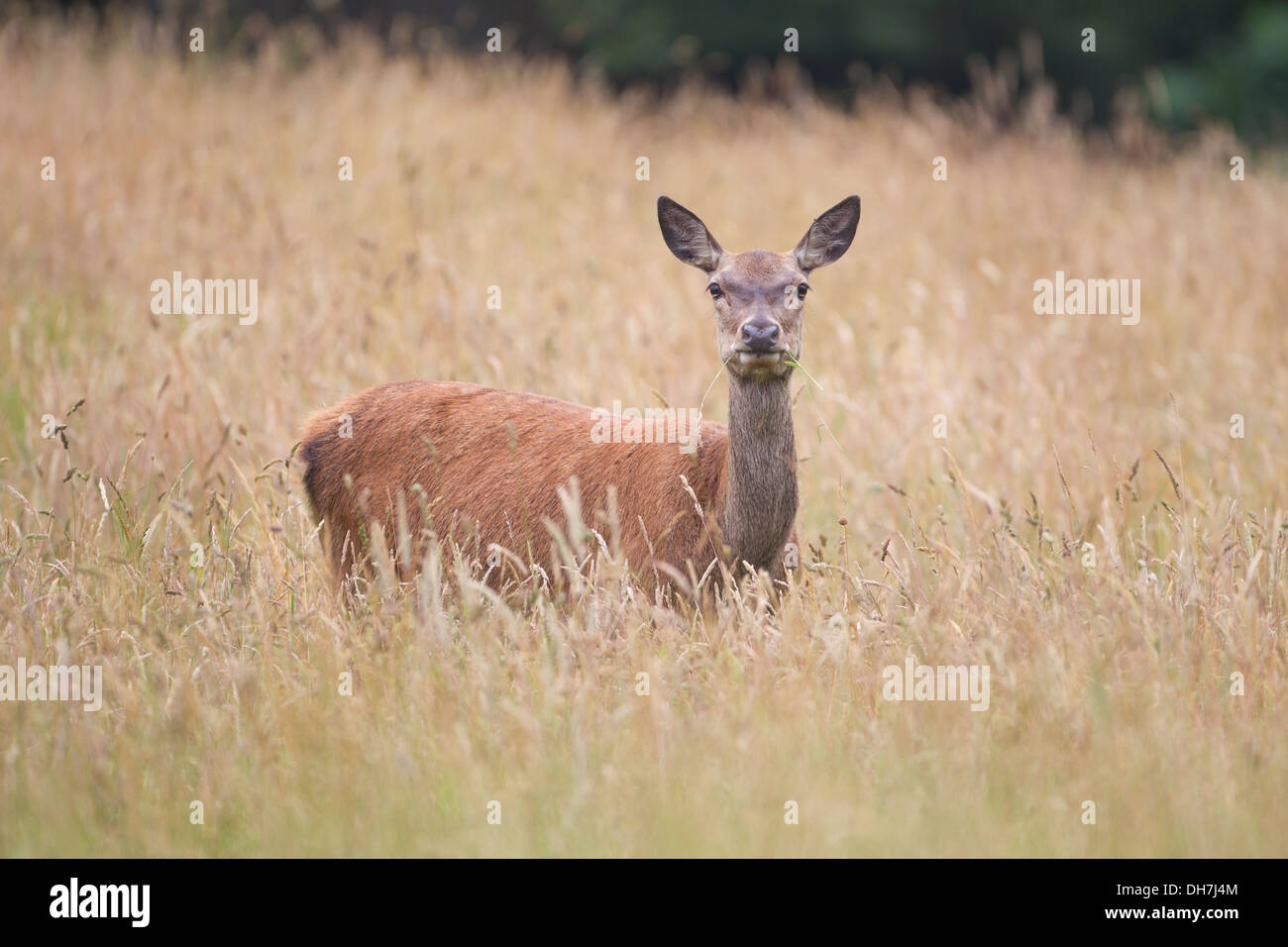 Female Red Deer (Cervus elaphus) hind in long grass. Studley Royal, North Yorkshire, UK - Stock Image