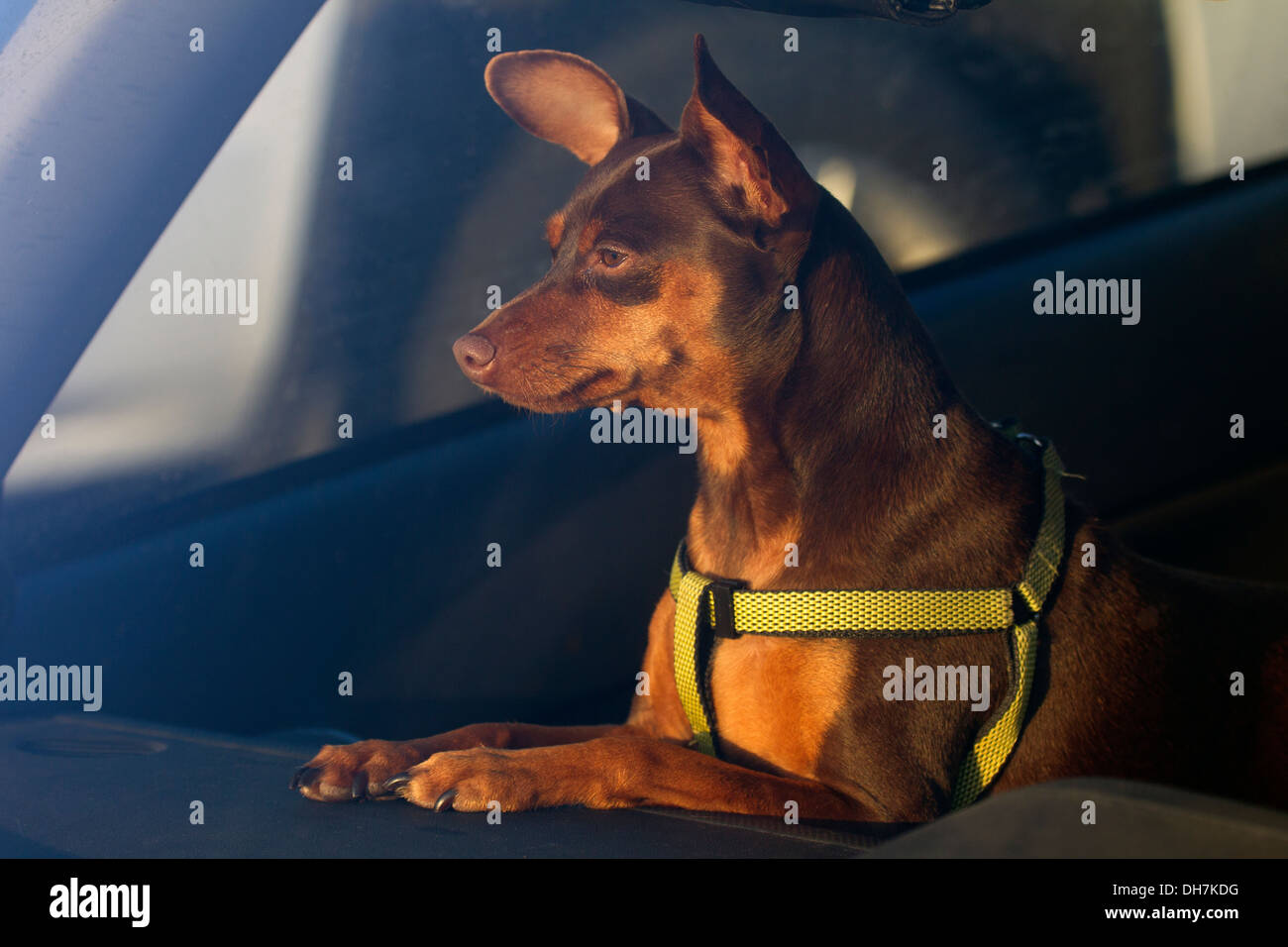 Brown MinPin Looking out of Car Windshield - Stock Image