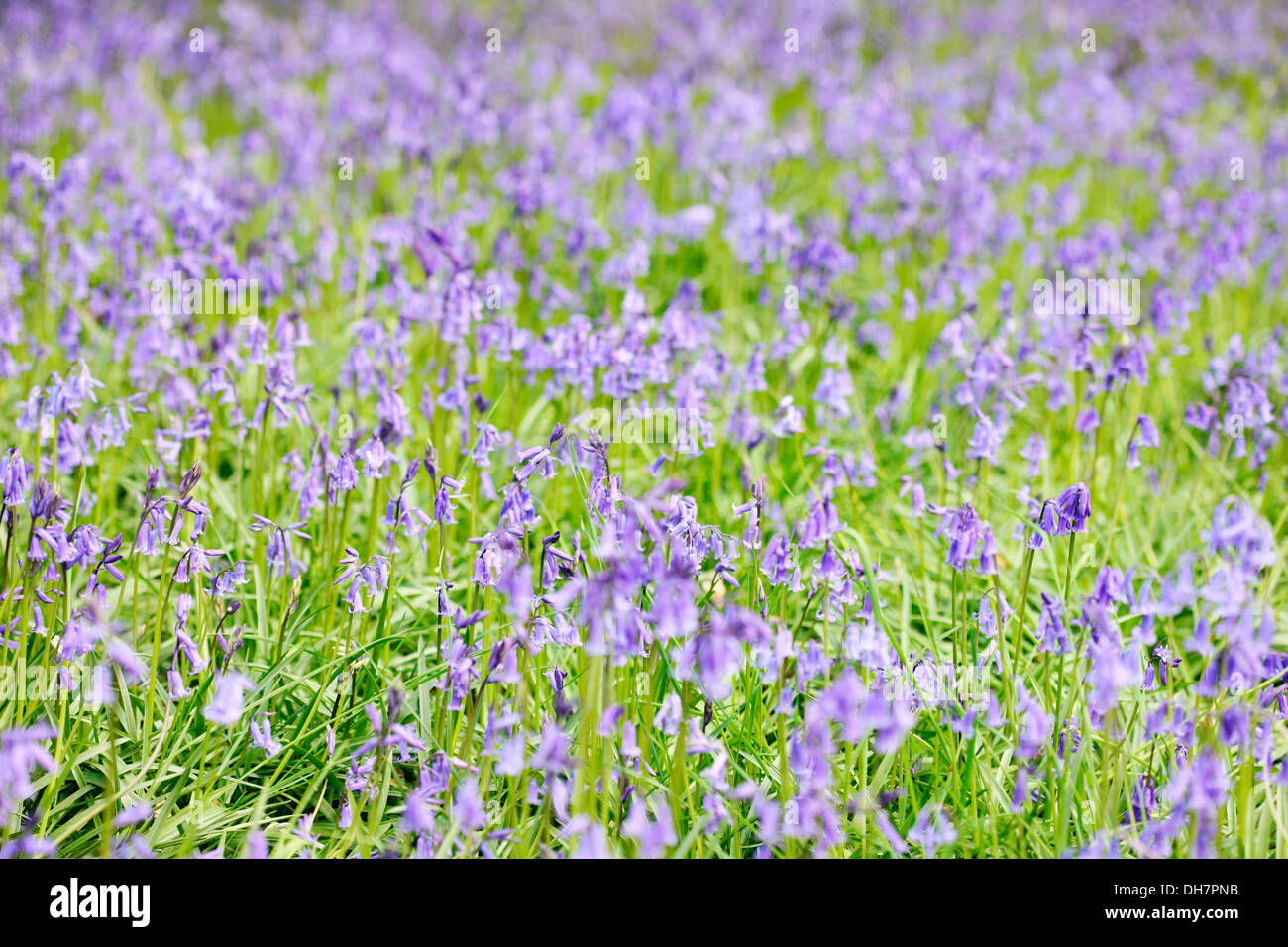 gorgeous may bluebells  Jane Ann Butler Photography  JABP1008 Stock Photo