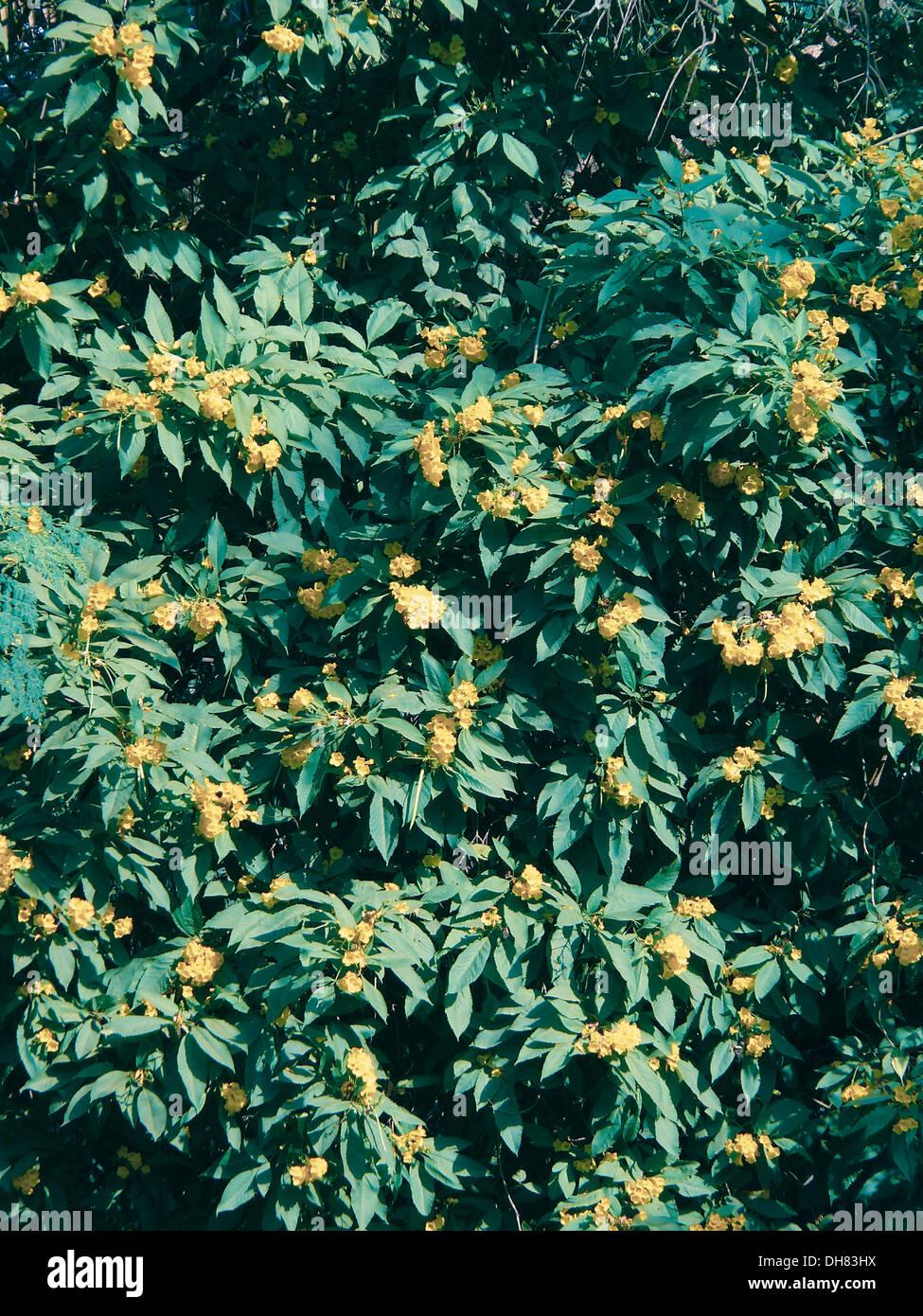 Tree of yellow bells yellow trumpet yellow elder tecoma stans tree of yellow bells yellow trumpet yellow elder tecoma stans mightylinksfo
