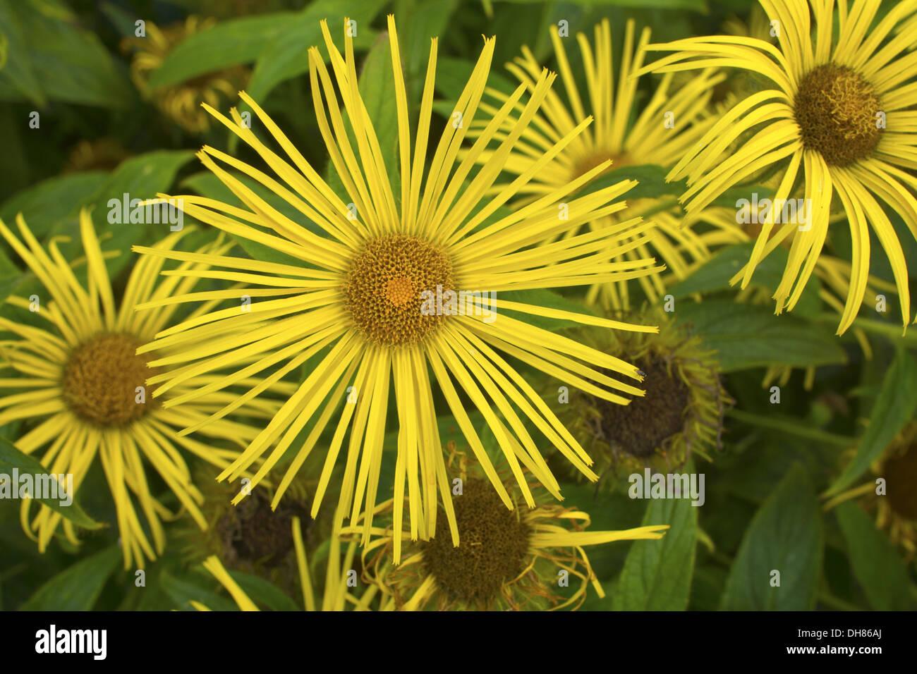 Daisy like flower stock photos daisy like flower stock images alamy bright yellow daisy like flower inula hookeri in a garden stock image izmirmasajfo