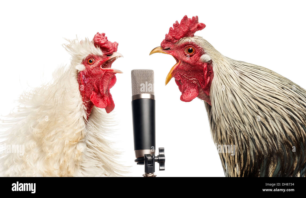 Two roosters singing at a microphone against white background - Stock Image