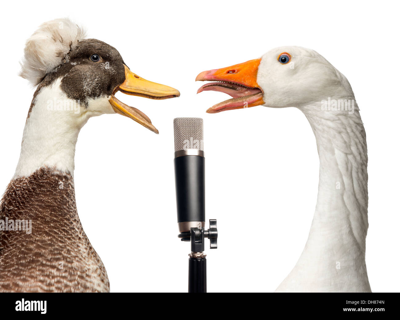 Close-up of Male Crested Duck, lophonetta specularioides, and Domestic goose, Anser anser domesticus, singing into microphone - Stock Image
