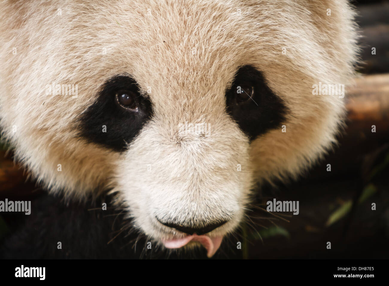 Close up of Panda bear's face with tongue hanging out Chengdu Giant Panda Breeding Center in Sichuan China - Stock Image
