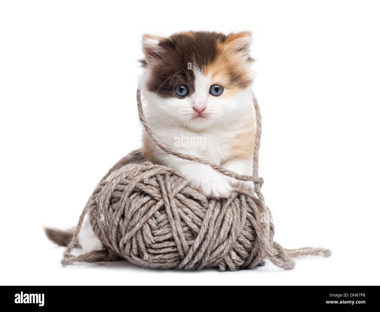 Front view of a Highland straight kitten playing with a wool ball against white background - Stock Image