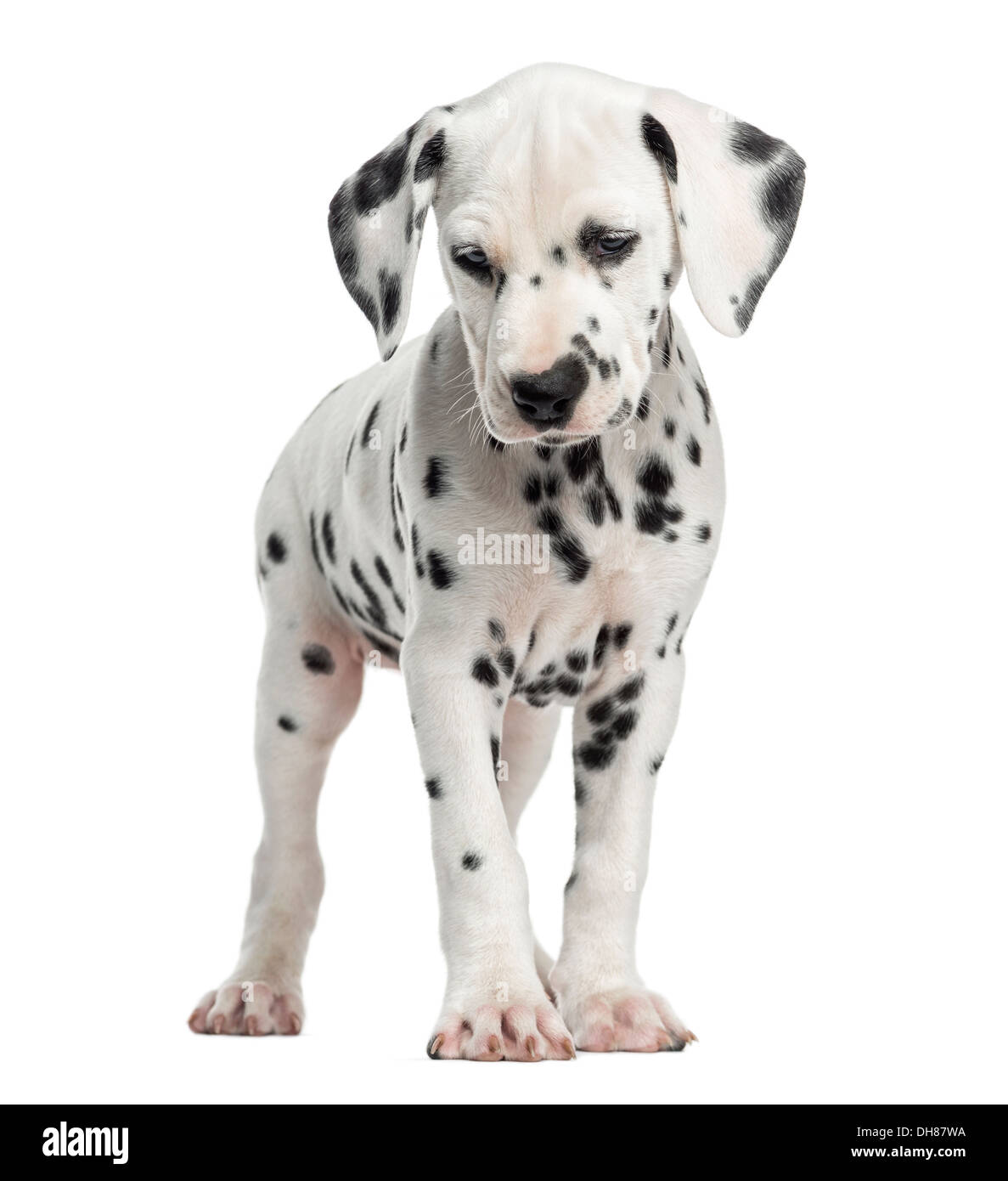 Front view of a Dalmatian puppy standing against white background - Stock Image