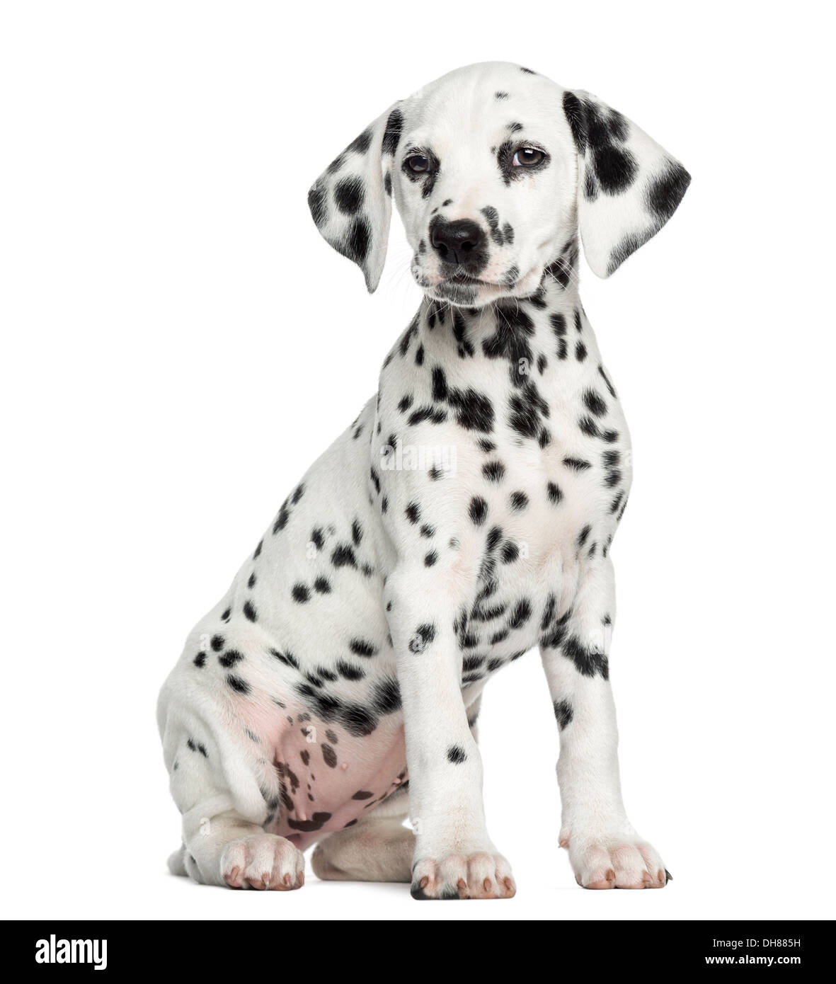 Front view of a Dalmatian puppy sitting against white background - Stock Image