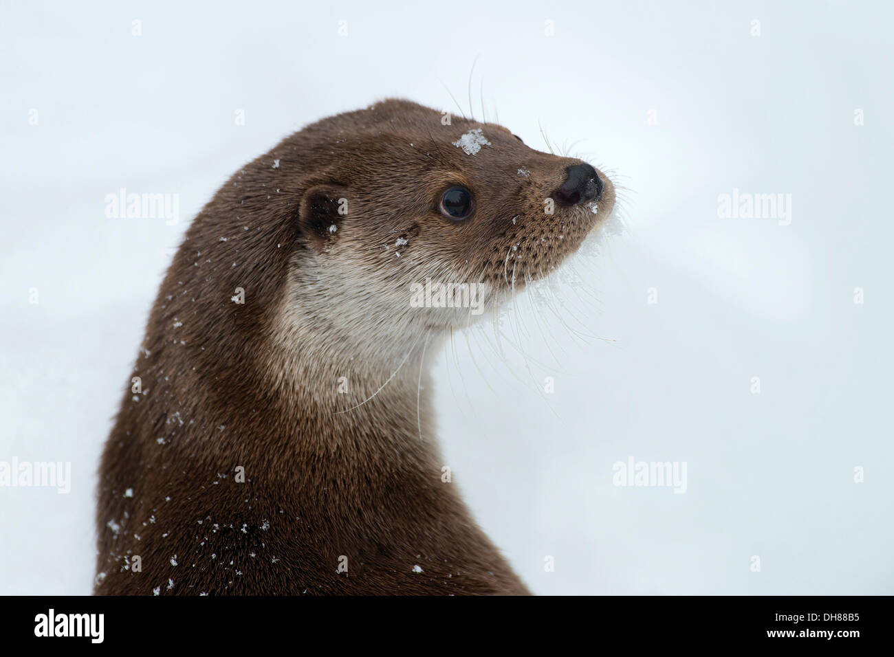 Eurasian Otter (Lutra lutra), animal enclosure, Bavarian Forest National Park, Bavaria, Germany - Stock Image