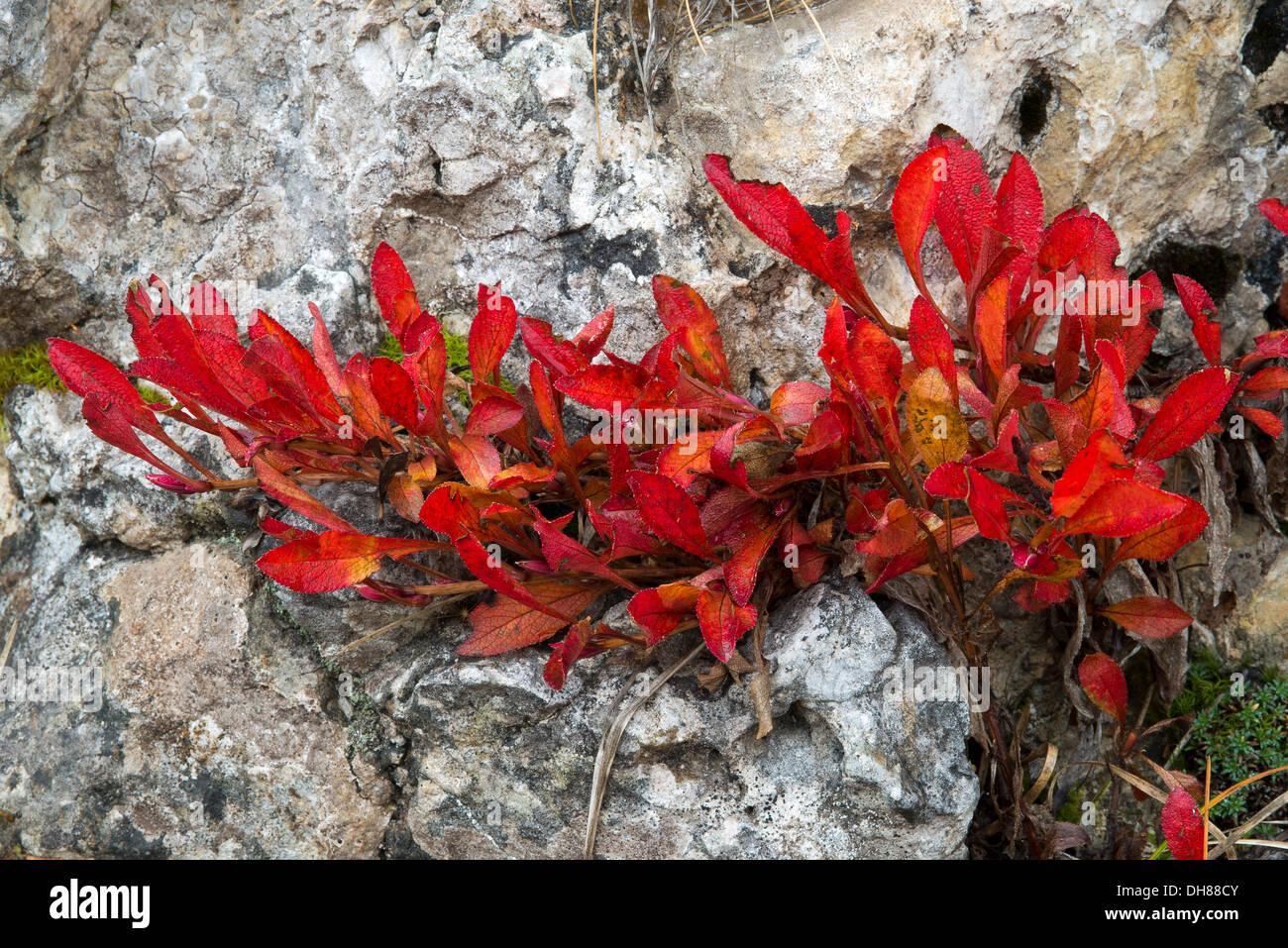 Alpine Bearberry (Arctostaphylos alpina), in autumn, Sella Pass, Dolomites, South Tyrol province, Trentino-Alto Adige, Italy Stock Photo