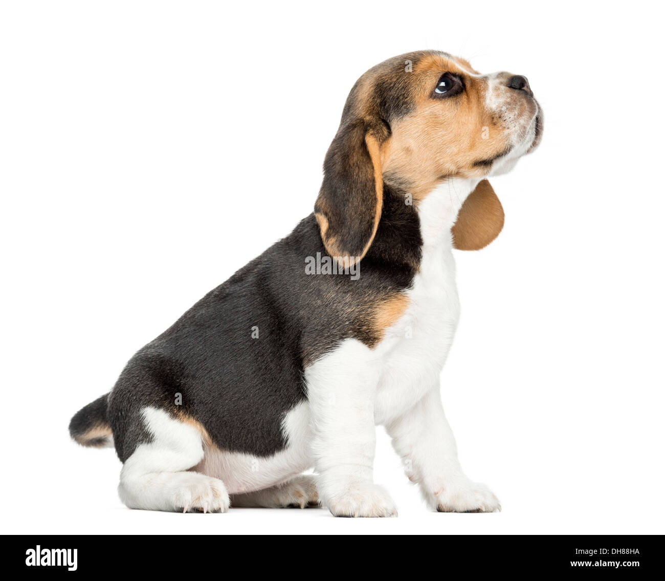 Side View Of A Beagle Puppy Sitting Looking Up Against White Stock Photo Alamy