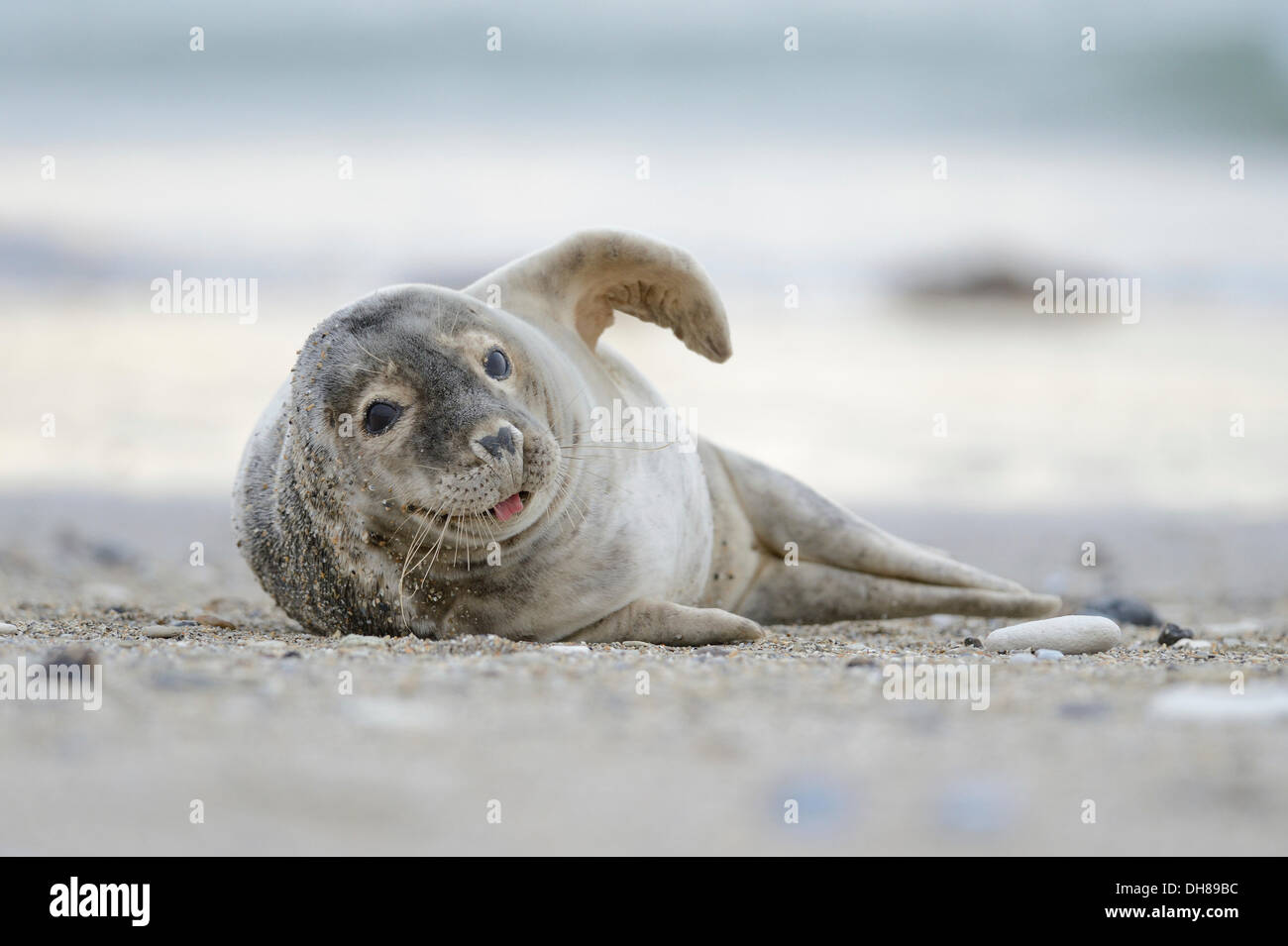 Grey Seal (Halichoerus grypus) sprawling on the beach and sticking out tongue, Helgoland, Helgoland, Schleswig-Holstein, - Stock Image