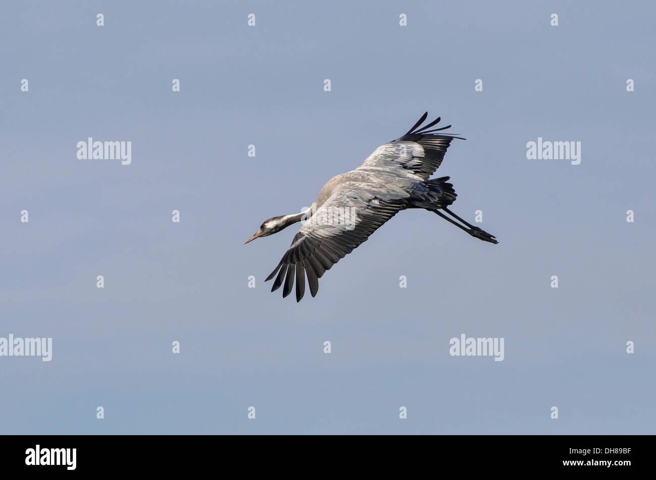 Common Crane (Grus grus) in flight at staging area, Günzer See lake, Vorpommern-Rügen District, Mecklenburg-Western Stock Photo