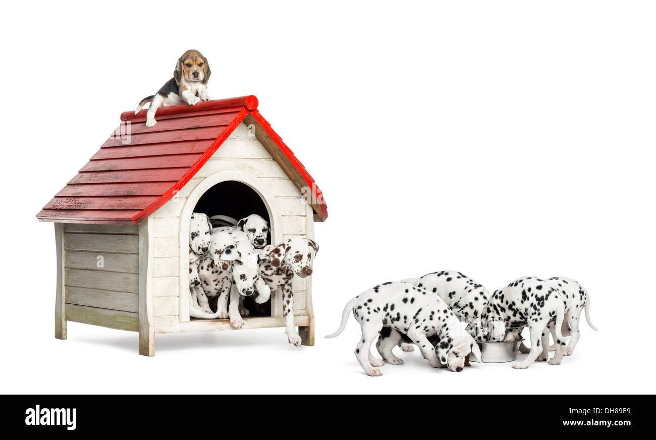 Large group of Dalmatian puppies playing and eating around a kennel against white background - Stock Image
