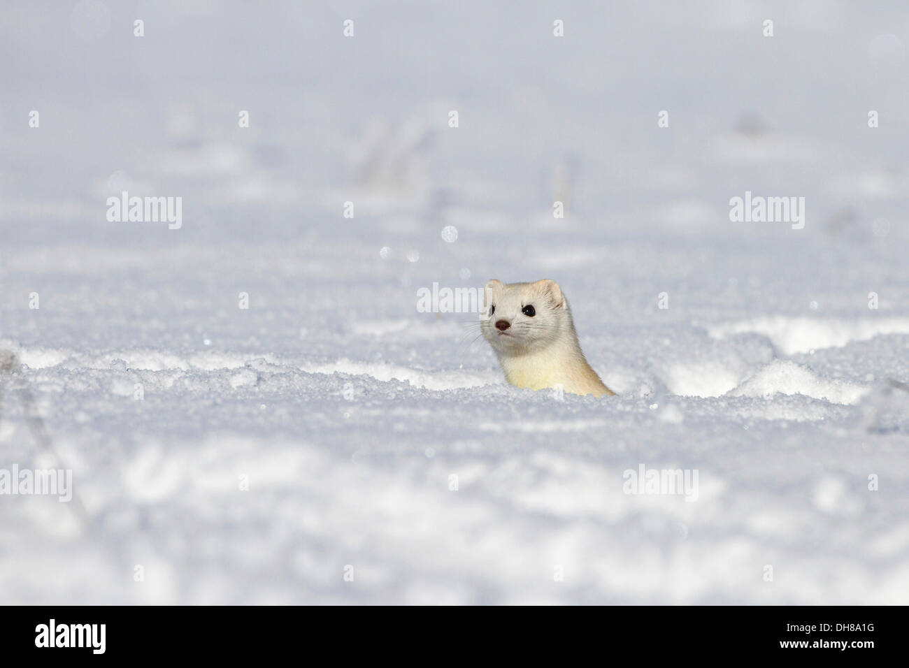 Stoat (Mustela erminea) with winter coat, Swabian Alps biosphere reserve, Baden-WuerttembergNON EXCLUSIVE USAGE FOR CALENDAR - Stock Image