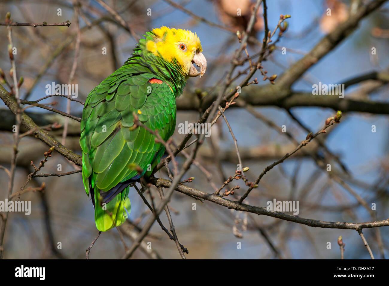 Yellow-headed Amazon (Amazona oratrix), Rosenstein Park, Stuttgart, Baden-Wuerttemberg Stock Photo