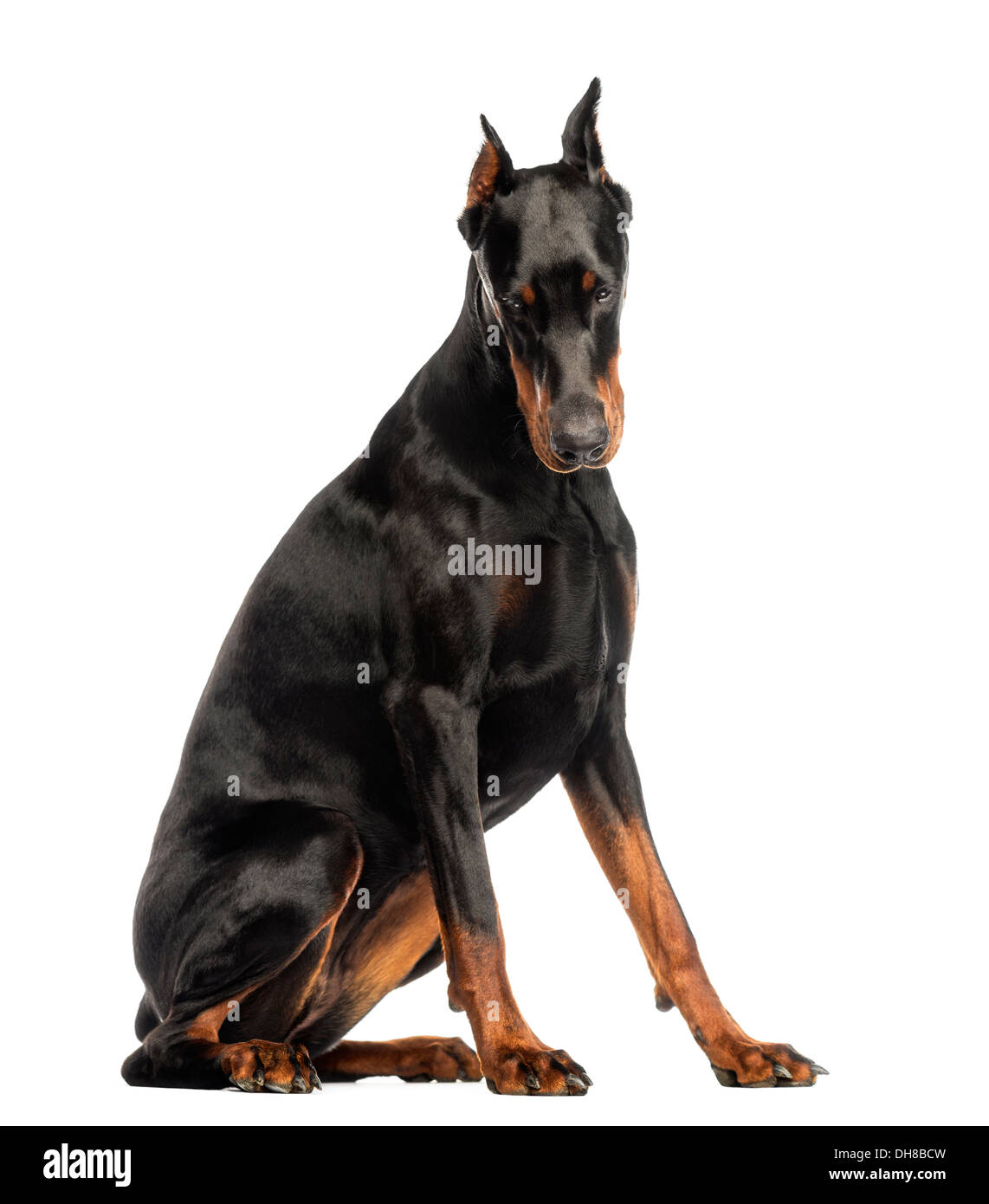Doberman Pinscher sitting, looking down against white background - Stock Image