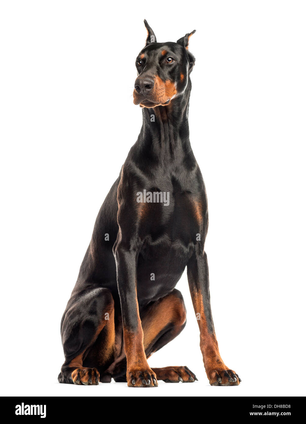 Doberman Pinscher sitting, looking away against white background - Stock Image