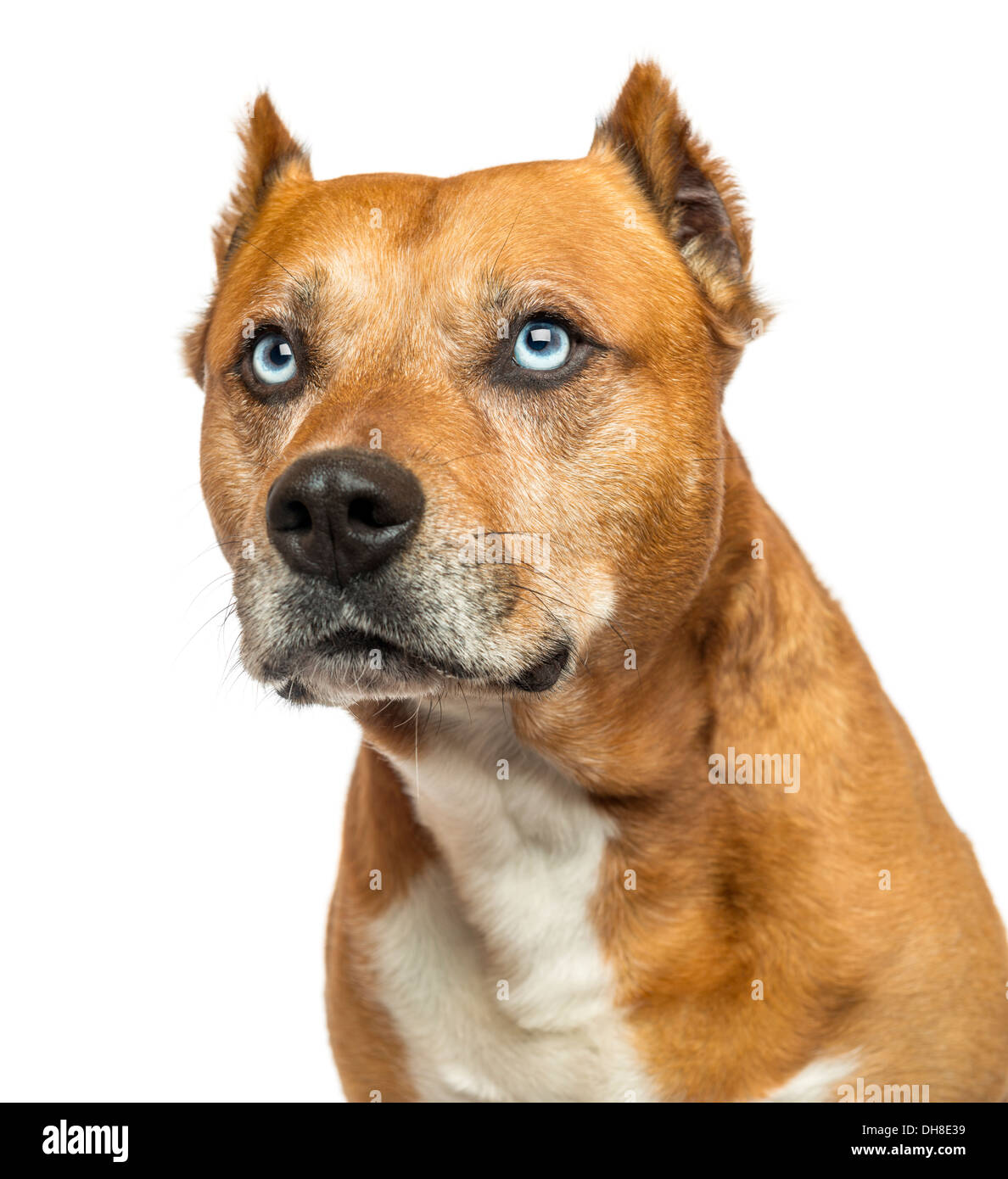 Close-up of an American Staffordshire Terrier against white background - Stock Image