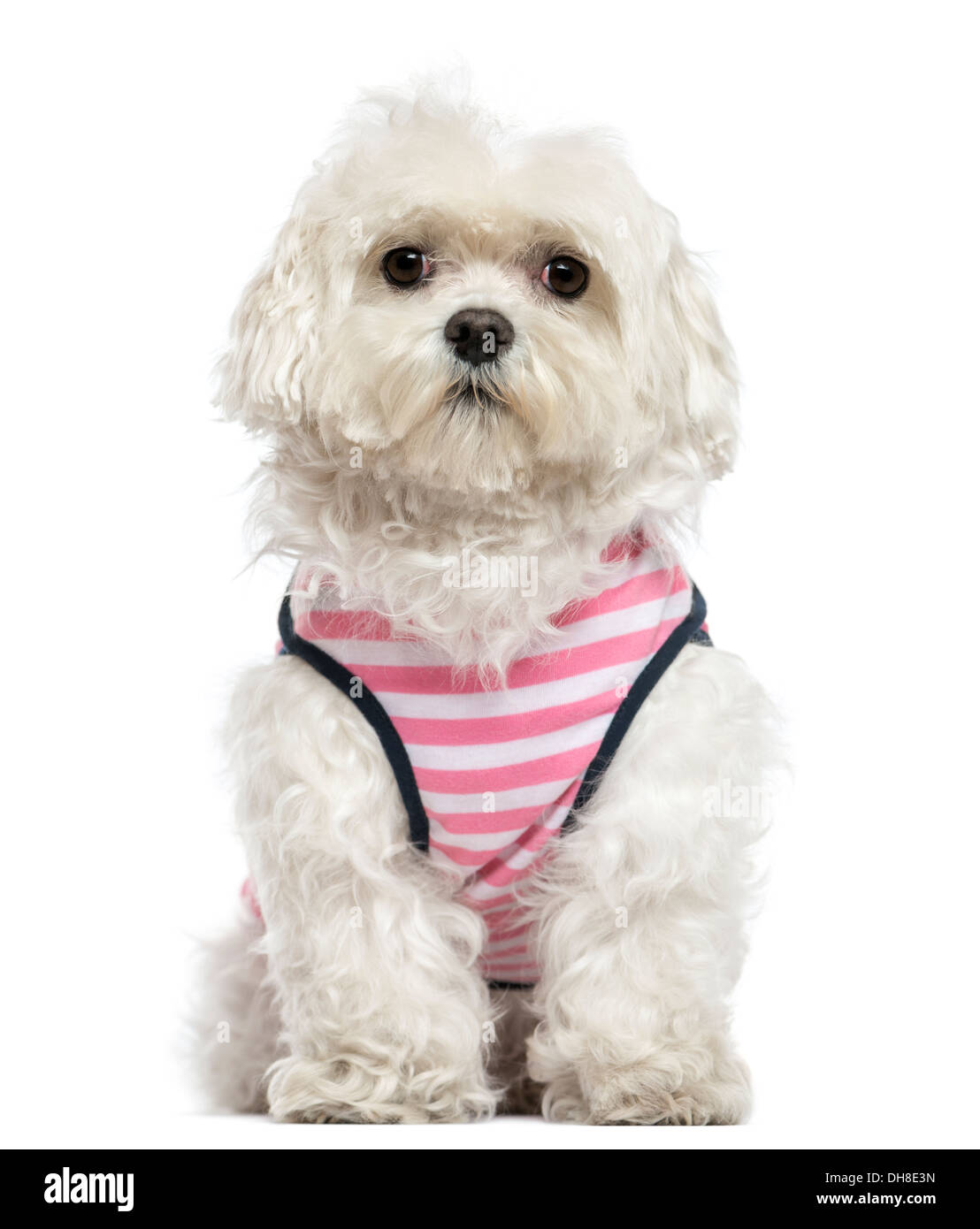 Maltese with striped shirt sitting against white background - Stock Image