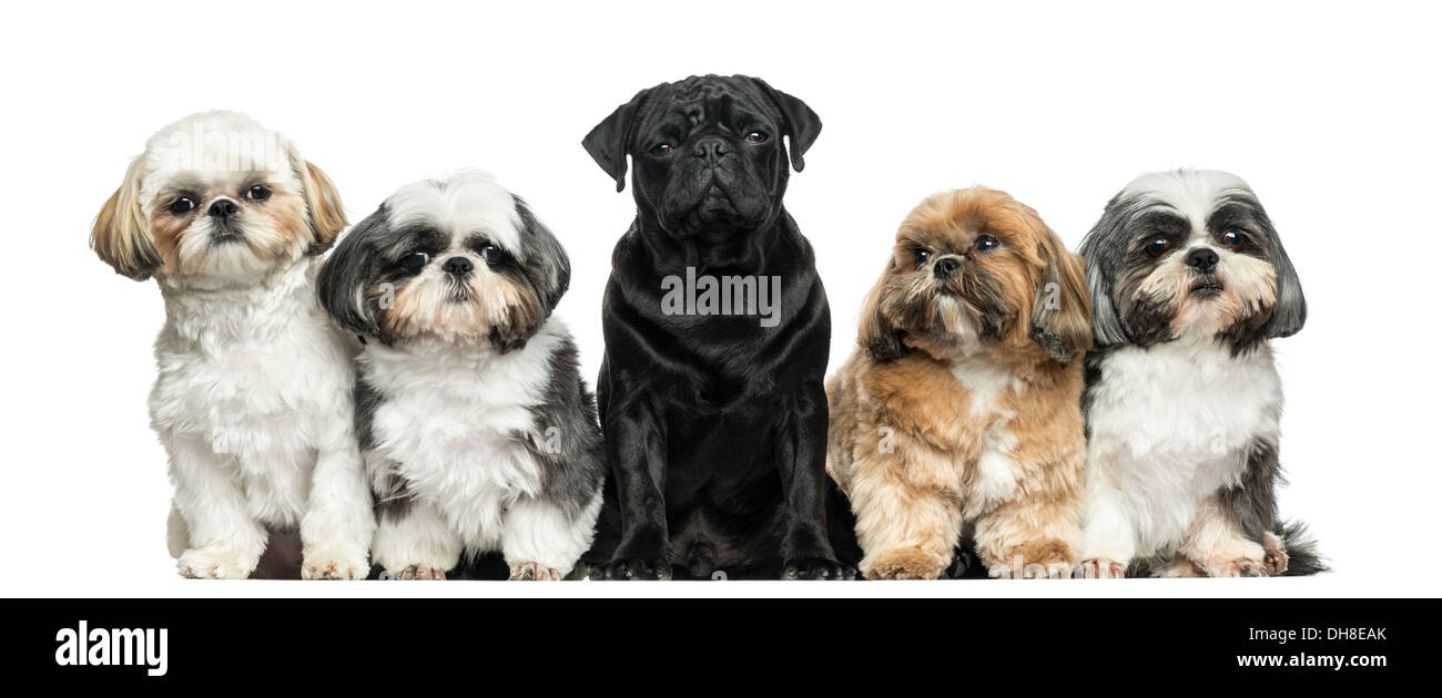 Front view of Dogs in a row sitting against white background - Stock Image