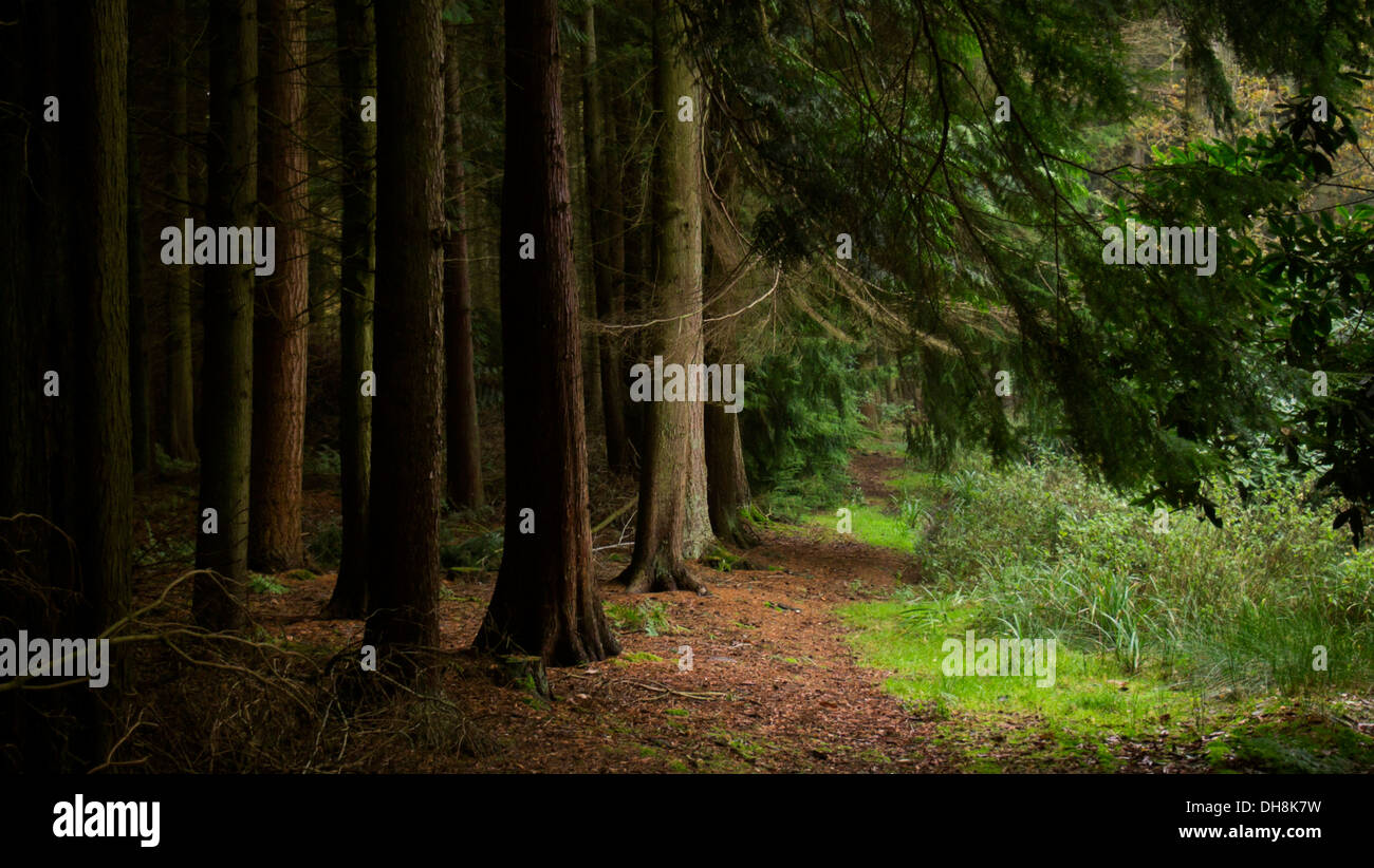Dark mystical quiet coniferous forest with feeling of solitude - Stock Image