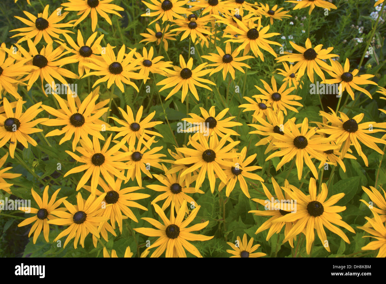Daisy Black Eyed Susan perennial flowering plant in a garden. - Stock Image