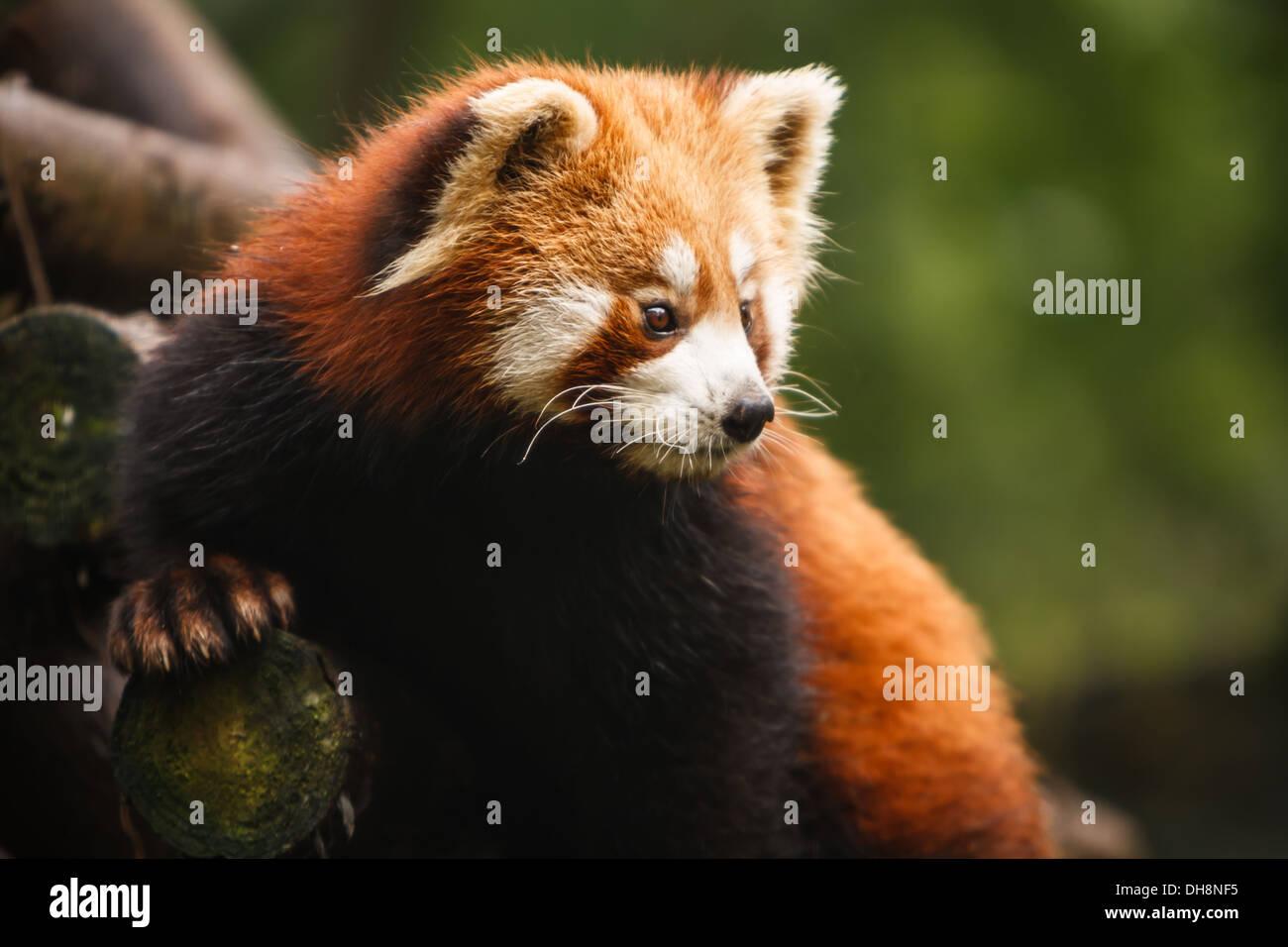 Red panda bear climbing tree at Chengdu Research Base of Giant Panda Breeding Center in Sichuan China - Stock Image