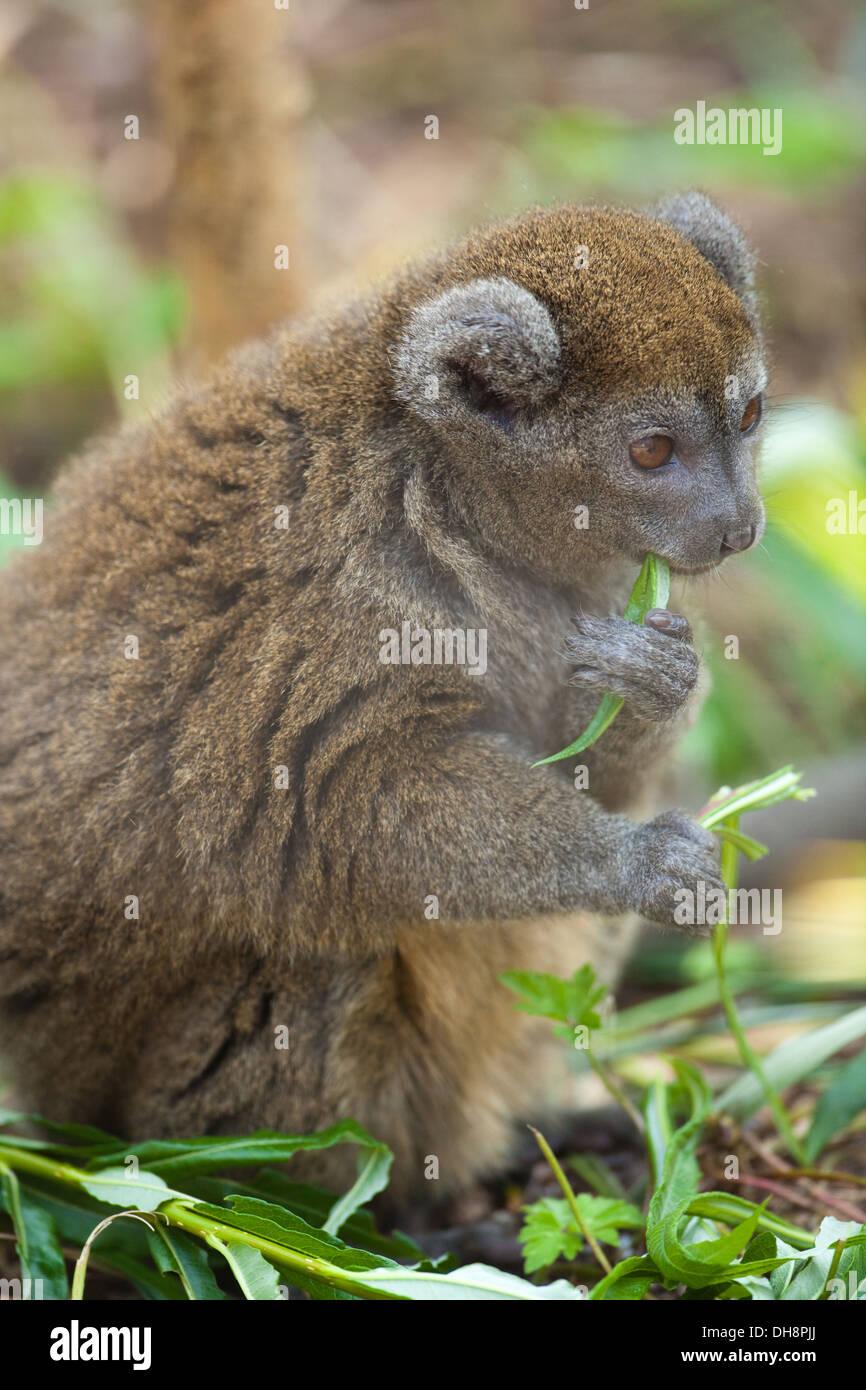 Aloatran Gentle Lemur or Bandro (Hapalemur griseus aloatrensis). Restricted to Lake Alaotra area, northeast Madagascar. - Stock Image