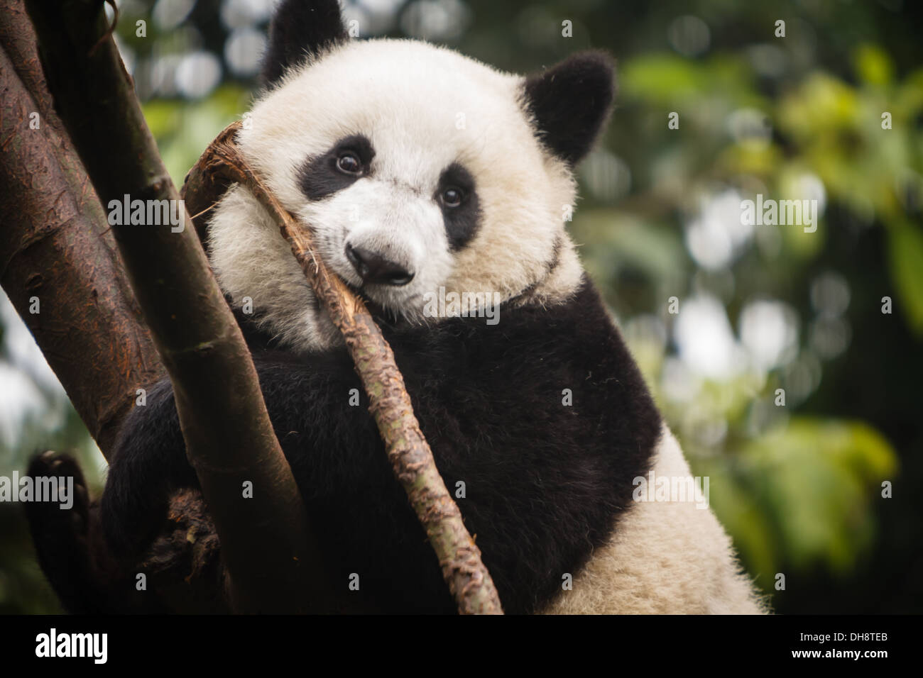 Panda bear chewing on a branch and climbing a tree at Chengdu Giant Panda Breeding Center in Sichuan China - Stock Image