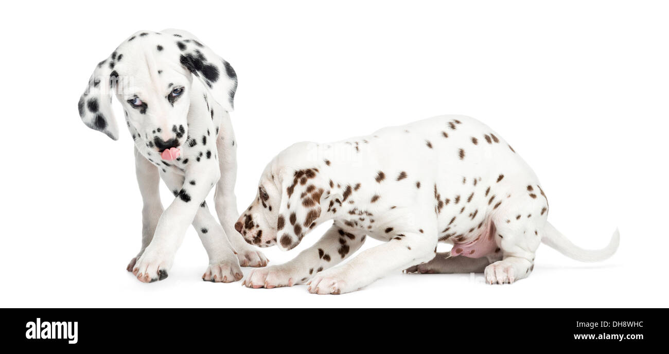 Two Dalmatian puppies playing against white background - Stock Image