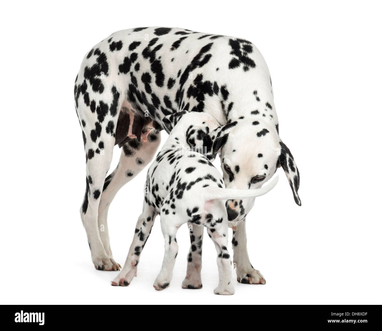 Dalmatian adult and puppy sniffing each other against white background - Stock Image