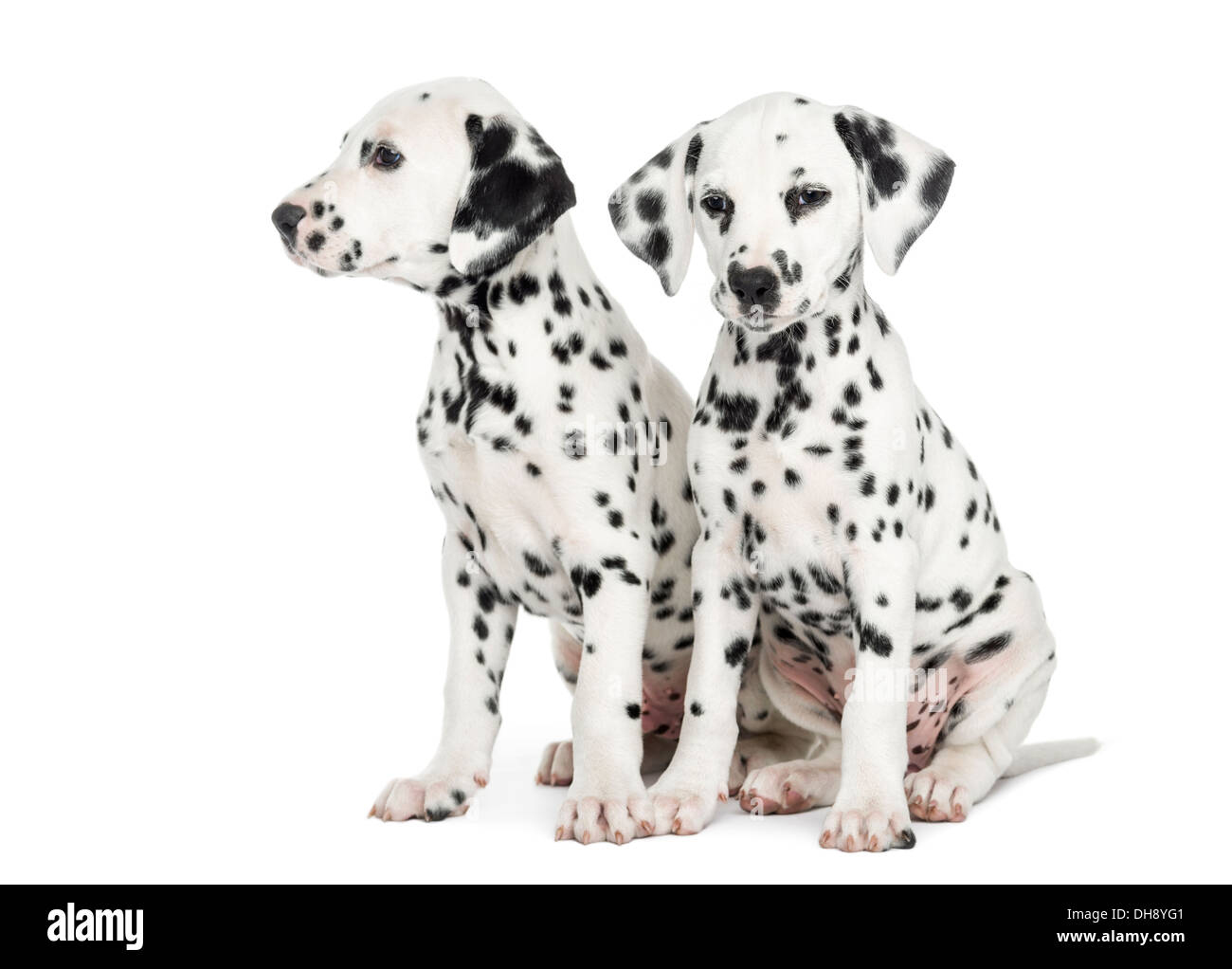 Two Dalmatian puppies, sitting next to each other against white background - Stock Image