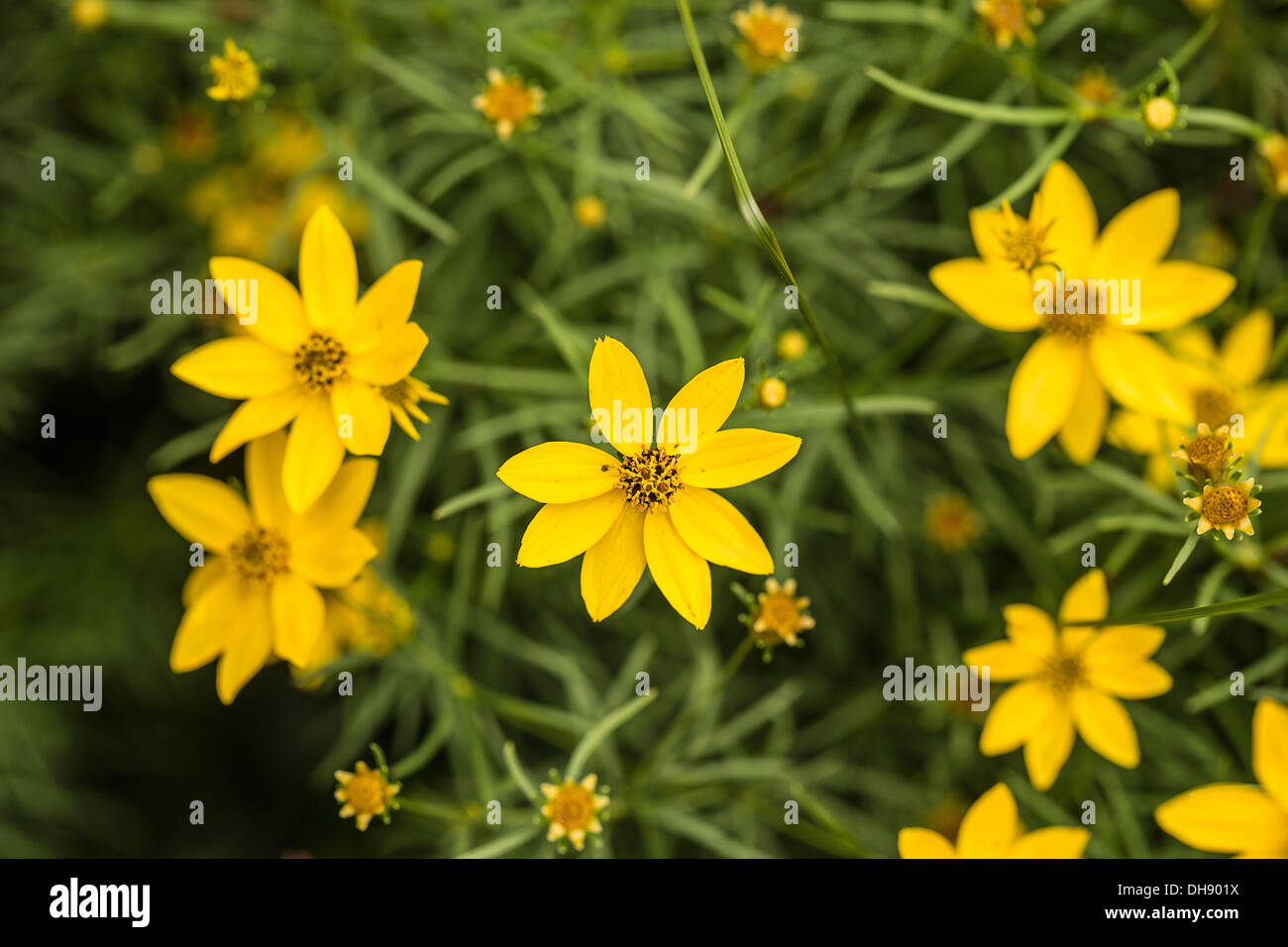 Tickseed Coreopsis Verticillata With Star Shaped Yellow Flowers And