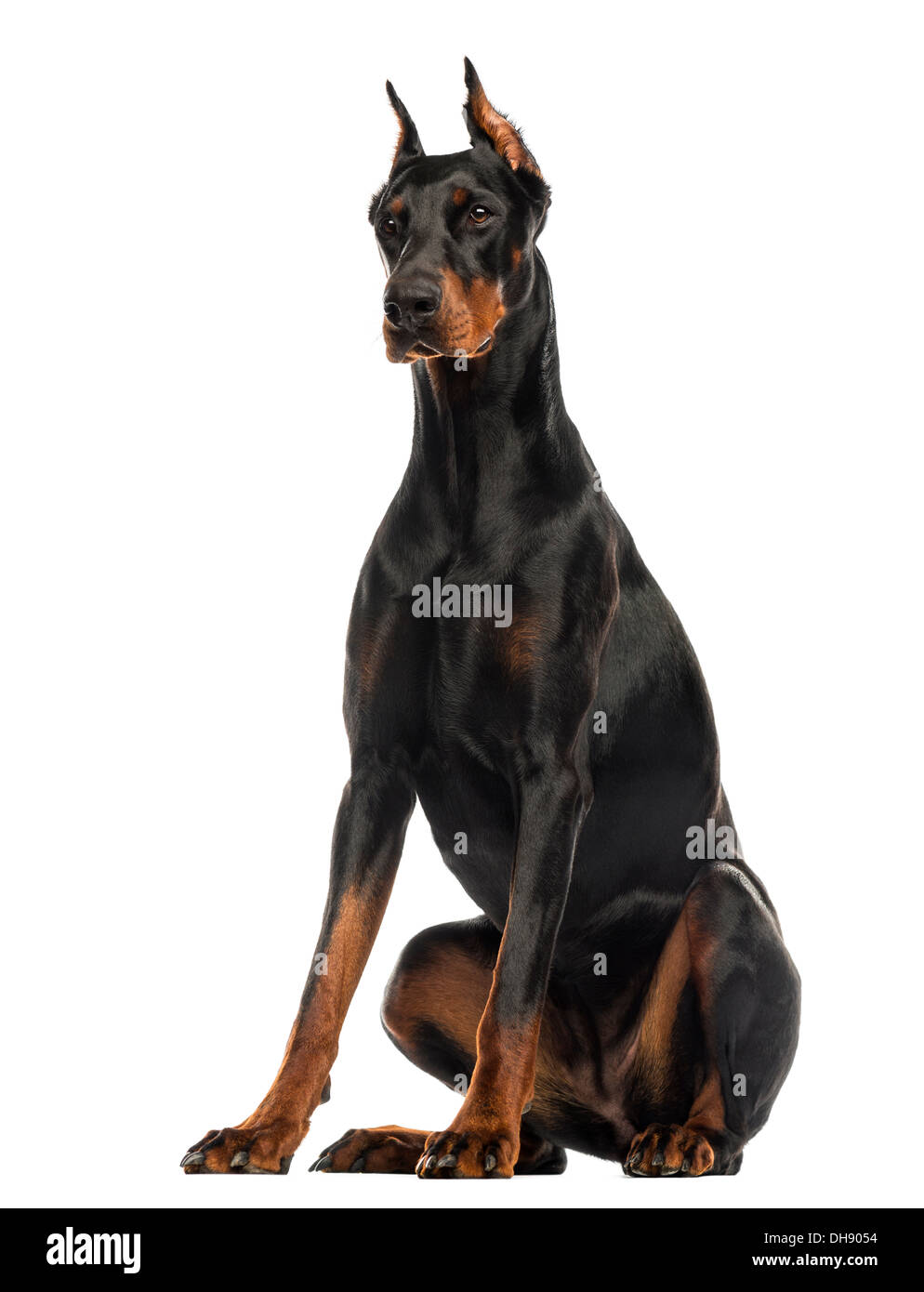 Doberman Pinscher sitting against white background - Stock Image